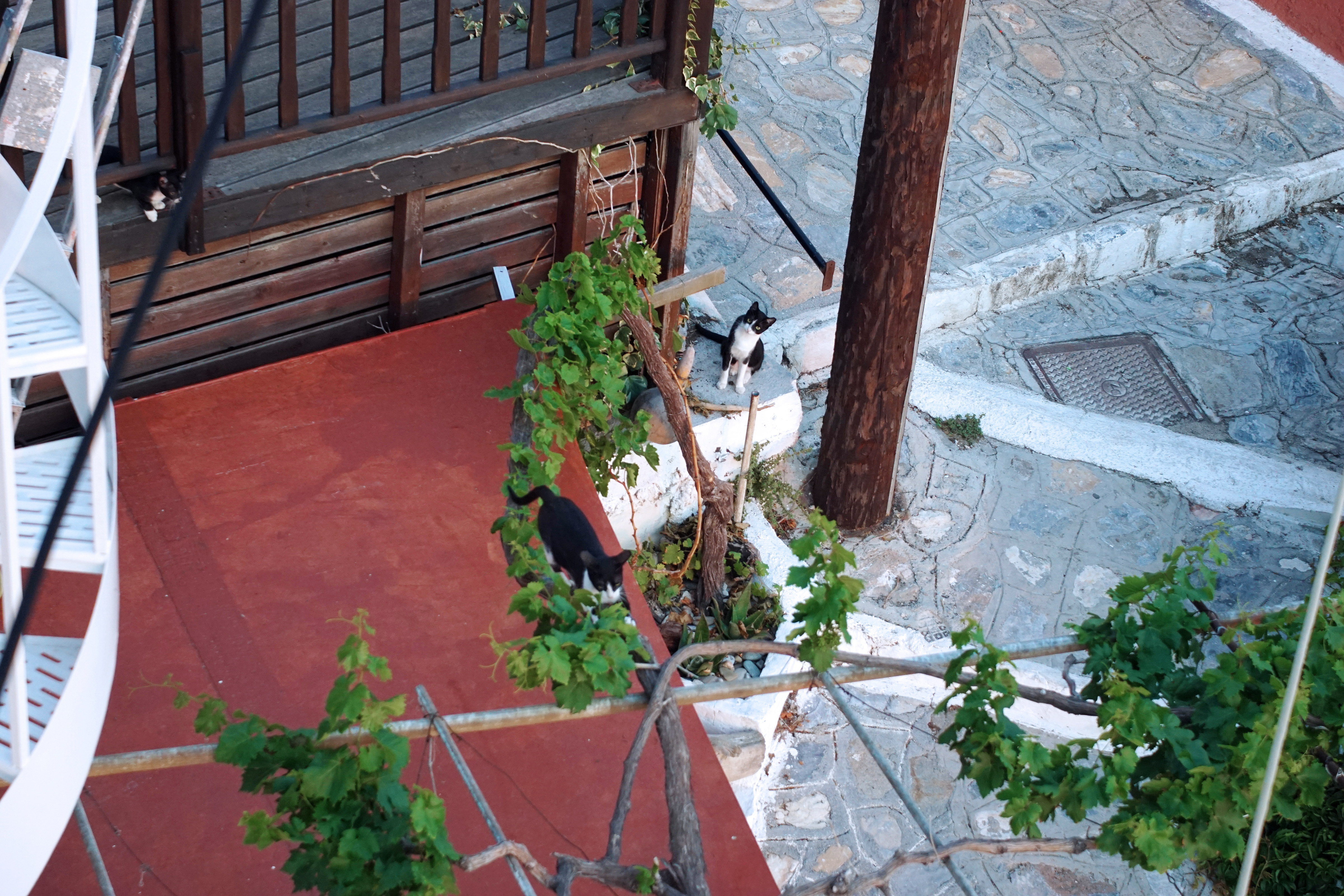 Samos-Greek-Cats05