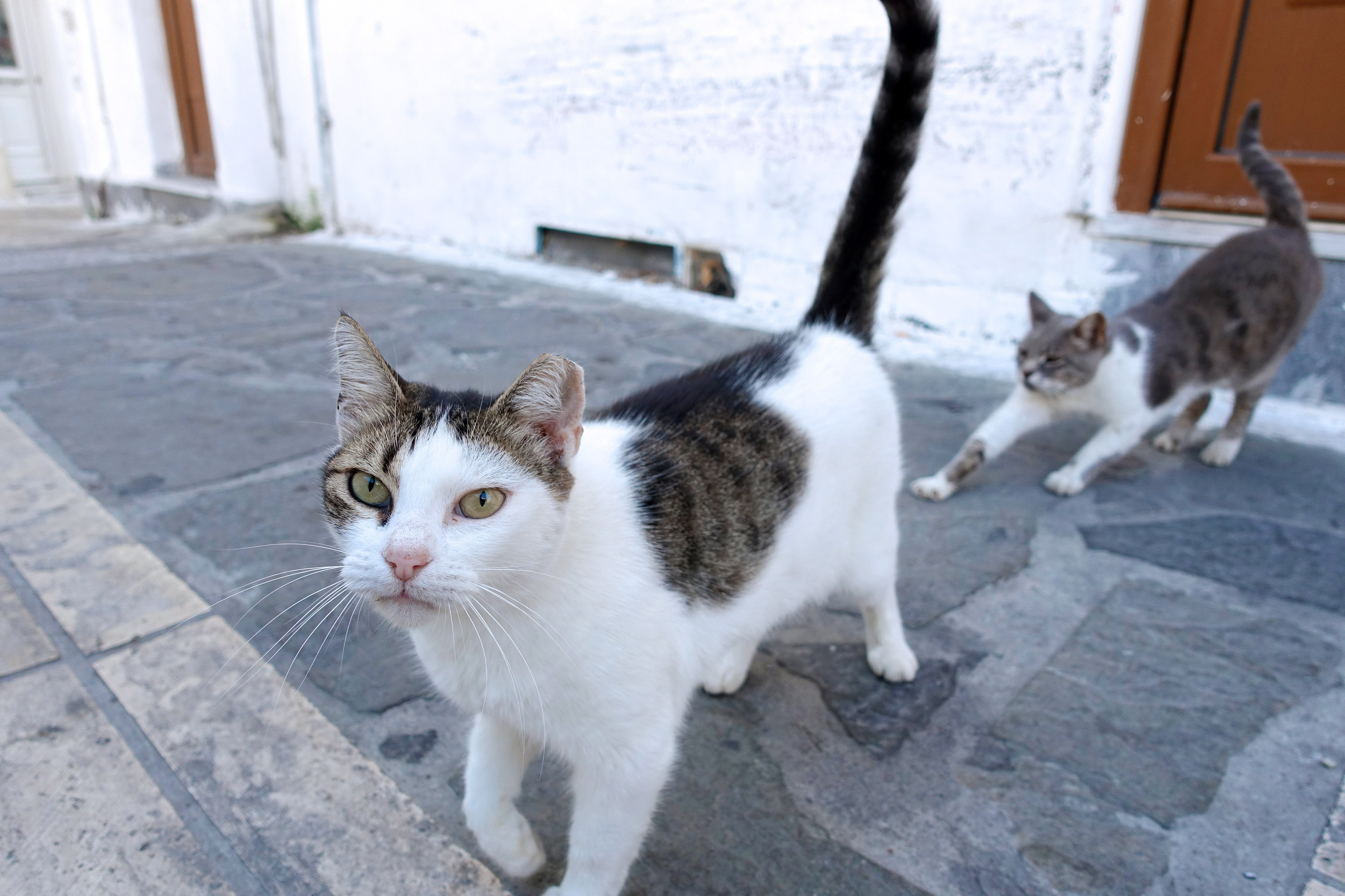 Samos-Greek-Cats32