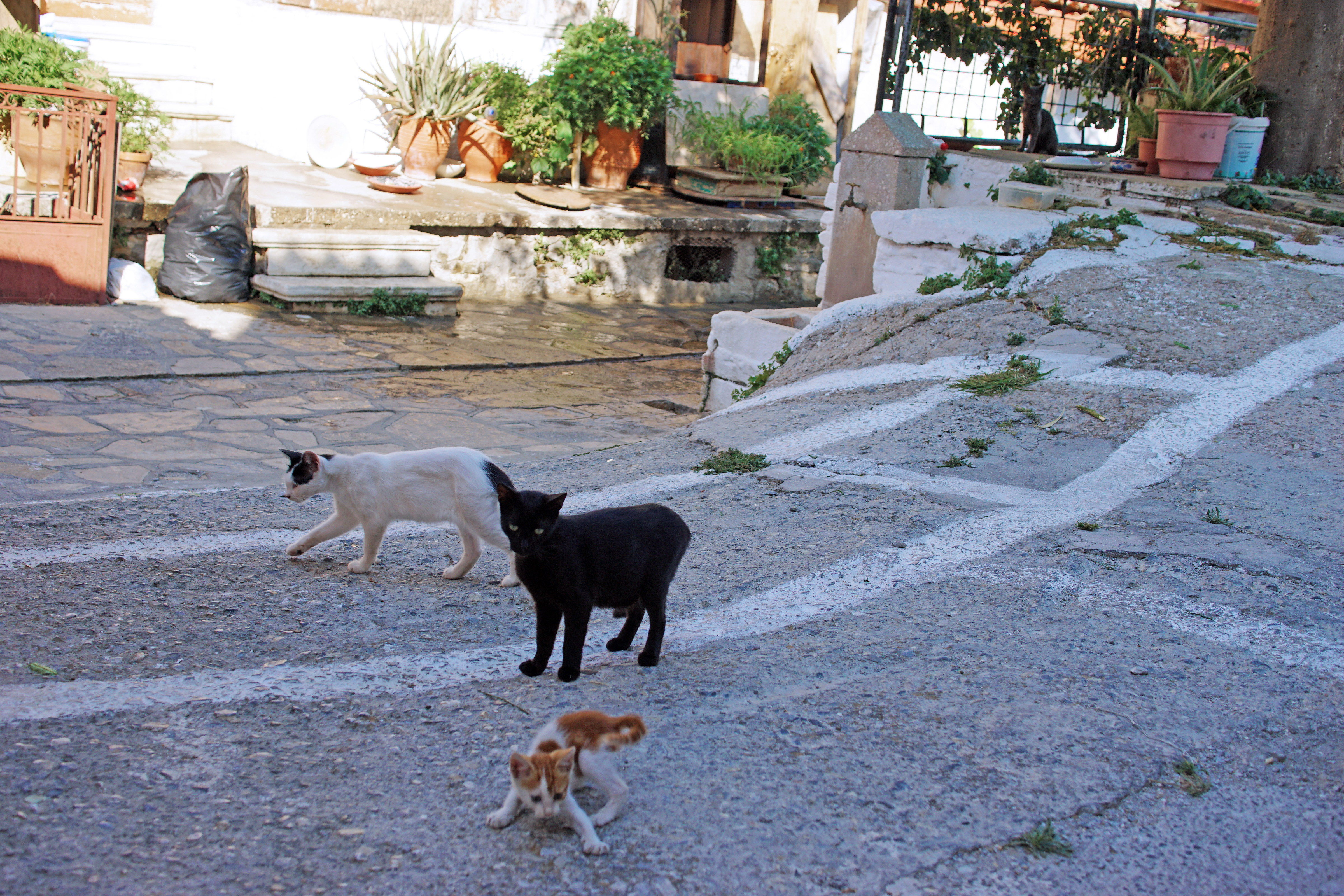 Samos-Greek-Cats48