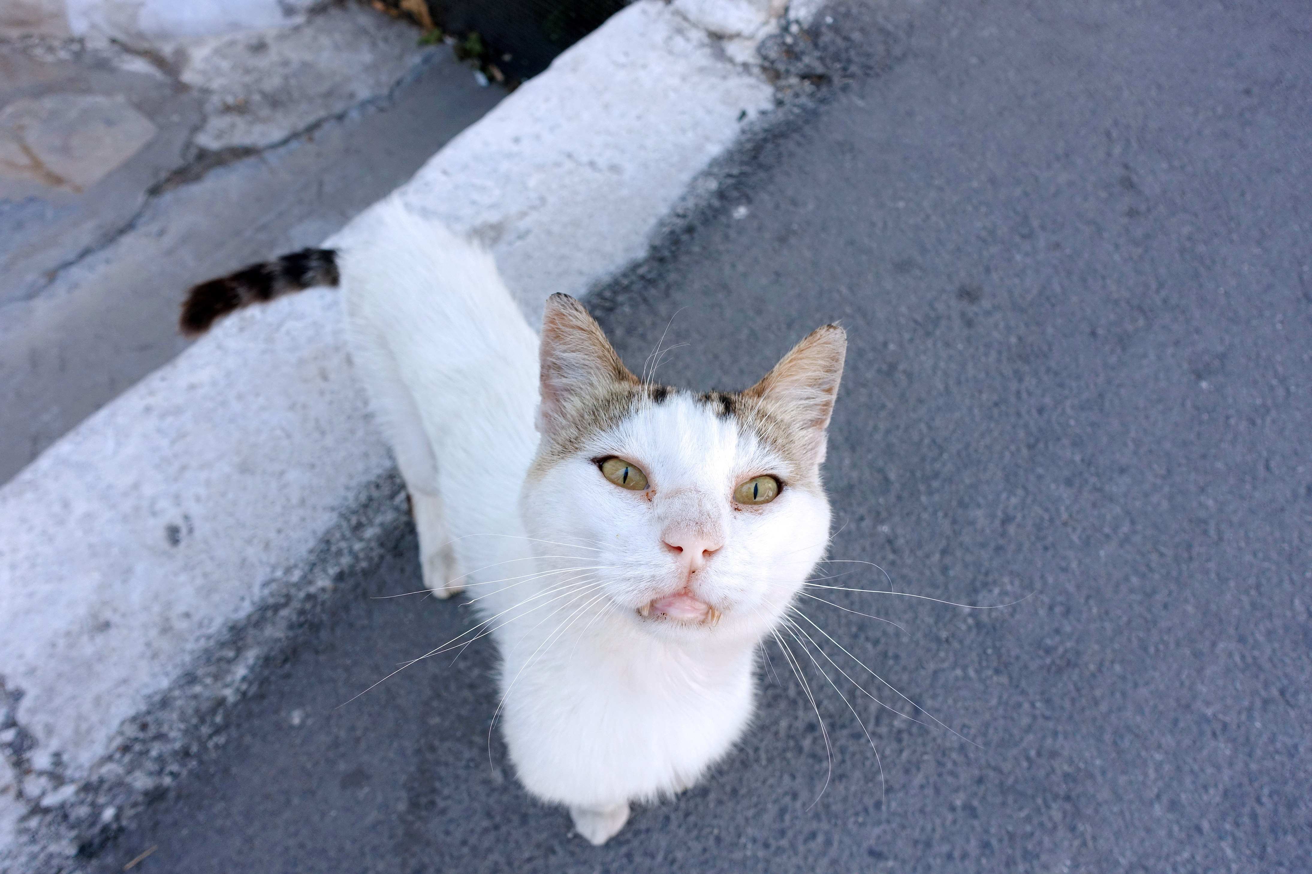 Samos-Greek-Cats50