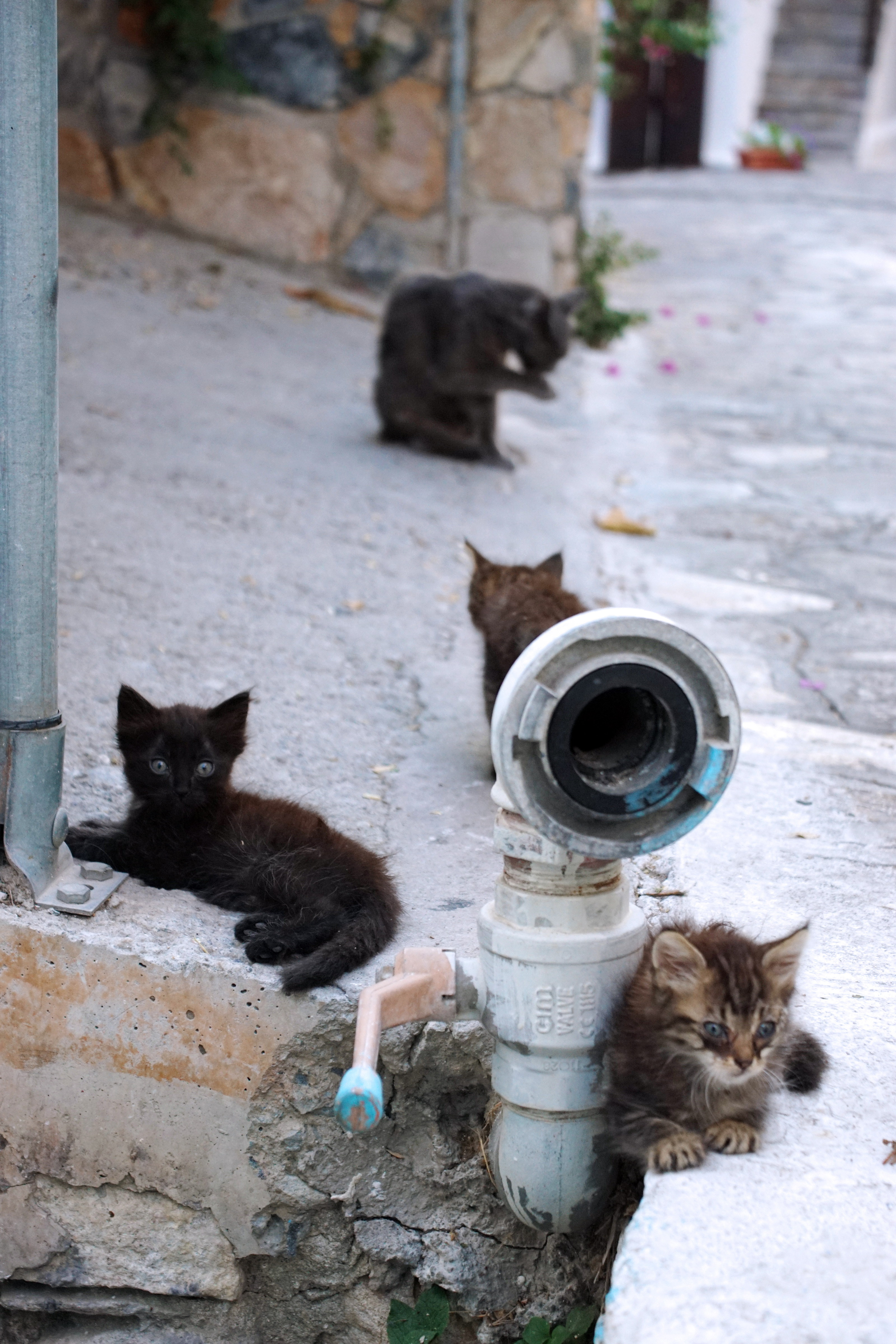 Samos-Greek-Cats58