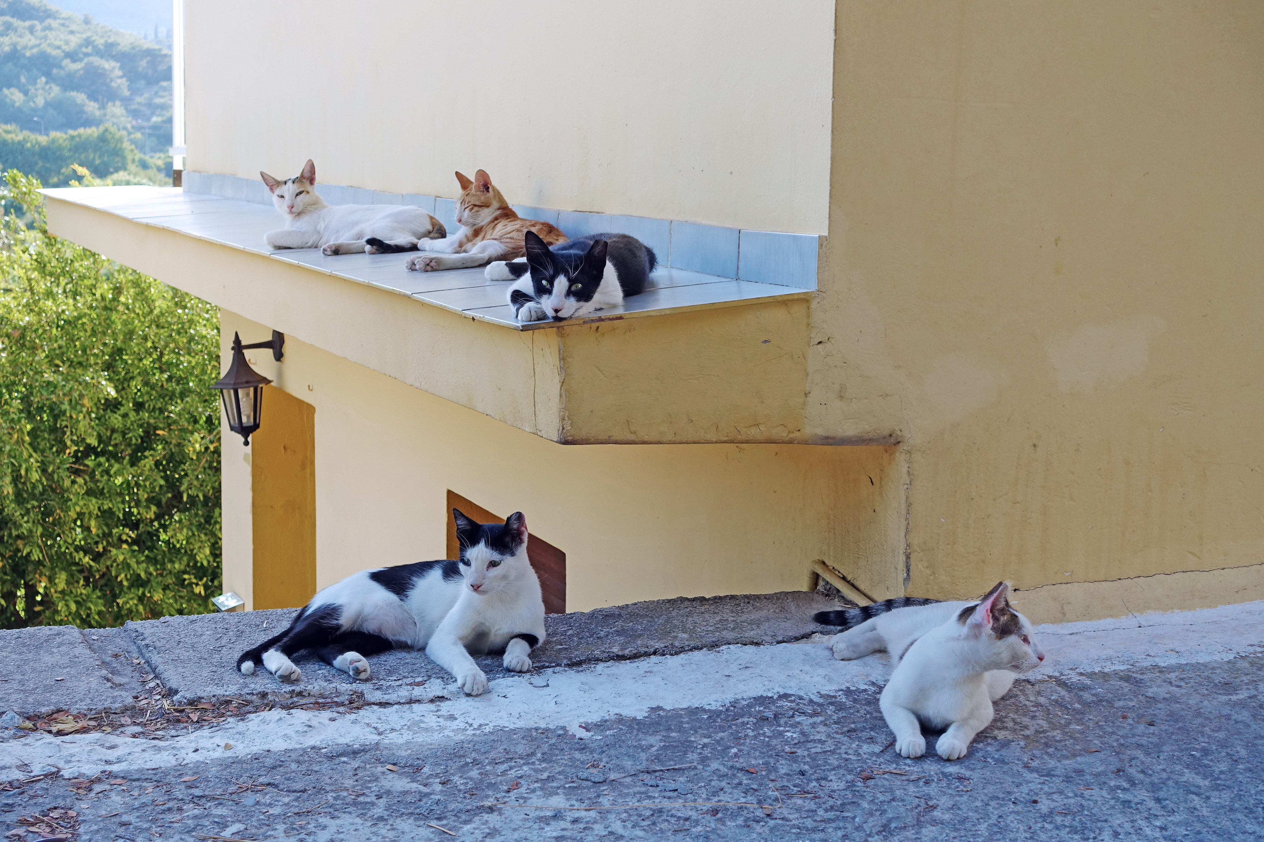 Samos-Greek-Cats65