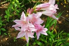 Amaryllis belladonna, native to South Africa.