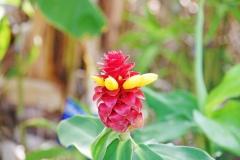 The flower of ginger.