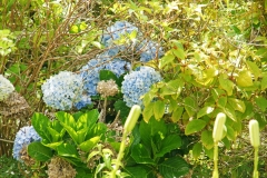 Hydrangea, also called Hortensia, grow flowerheads at the end of their stems.