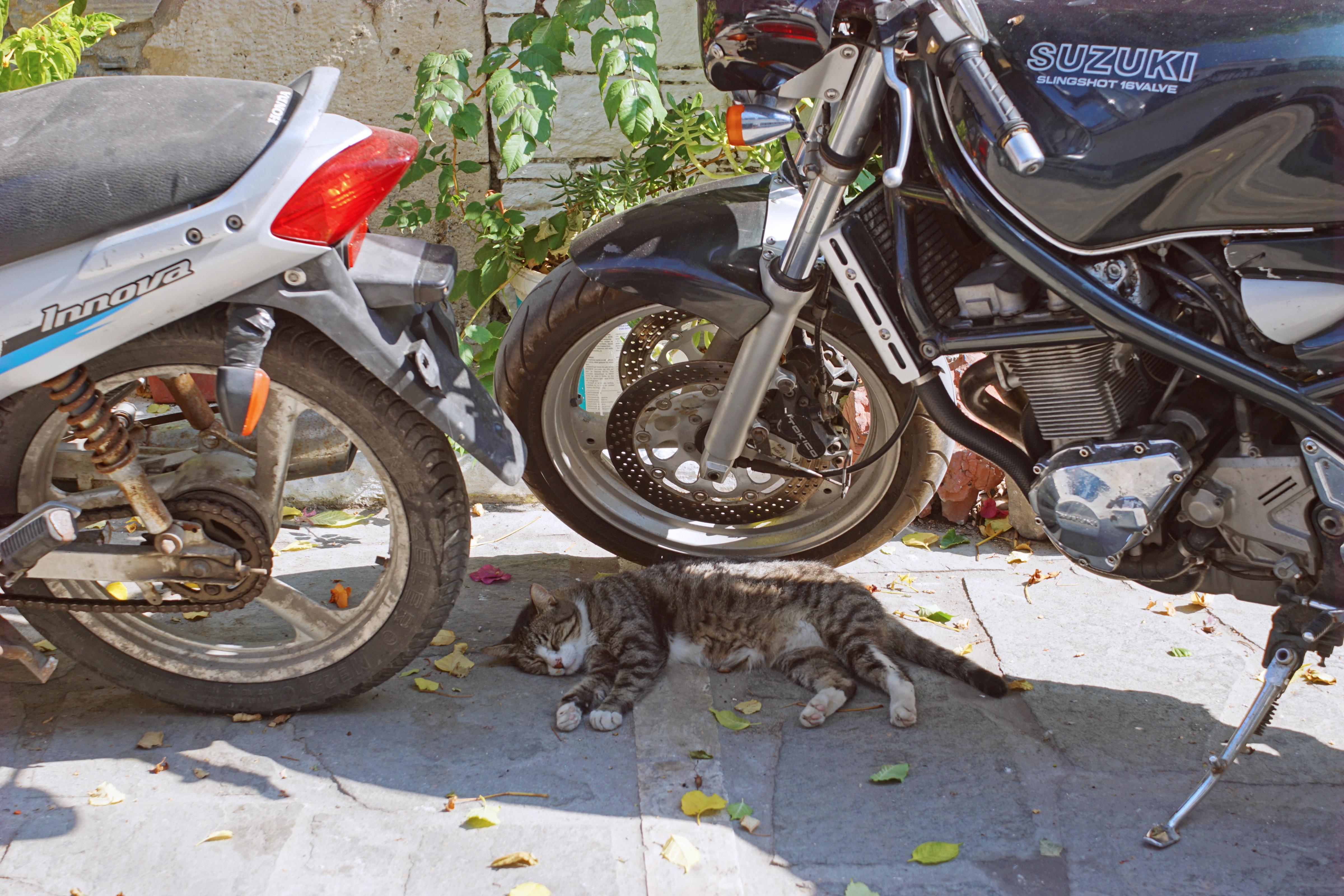 Samos-Greek-Cats08