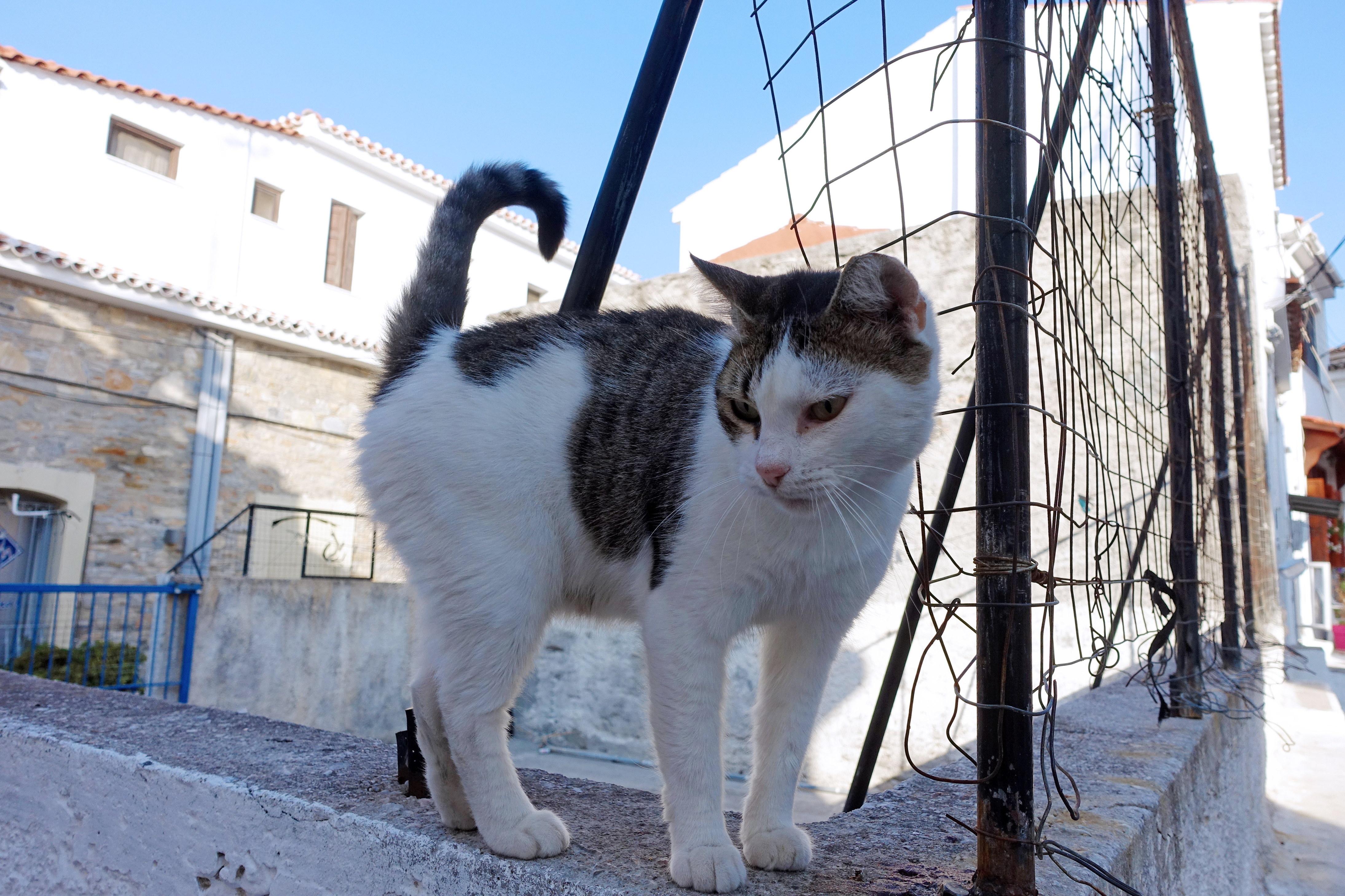 Samos-Greek-Cats33