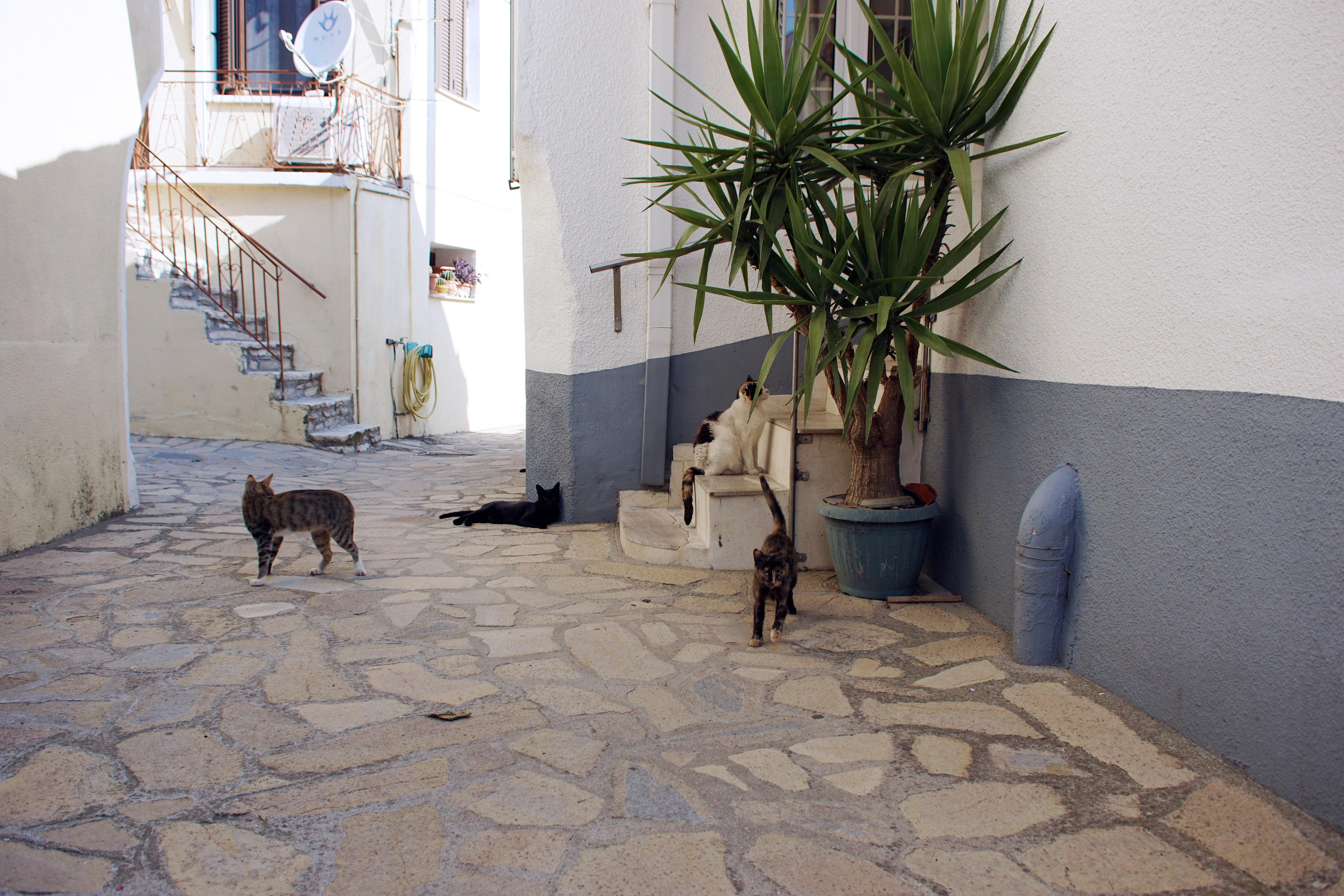 Samos-Greek-Cats43