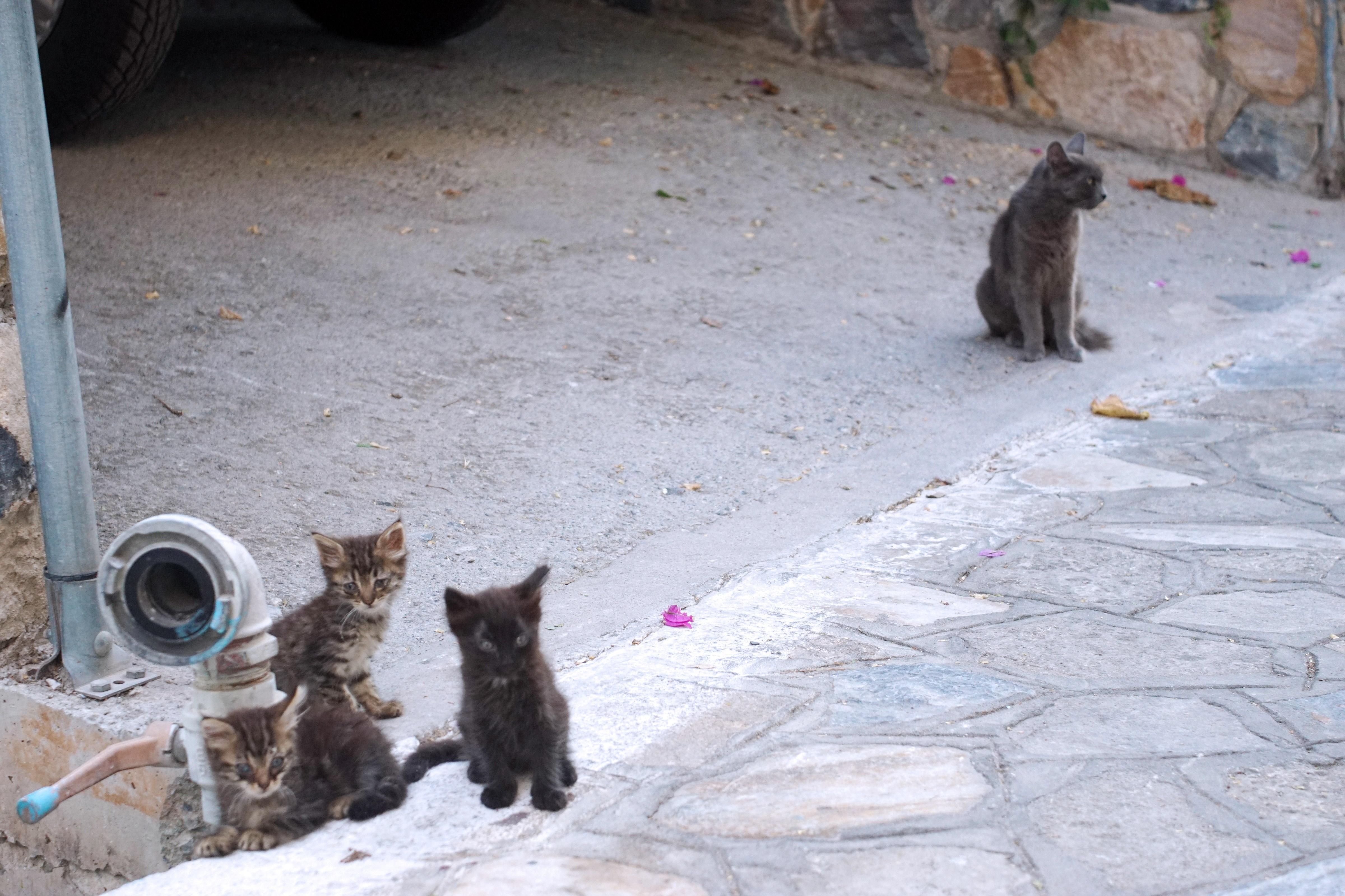 Samos-Greek-Cats57