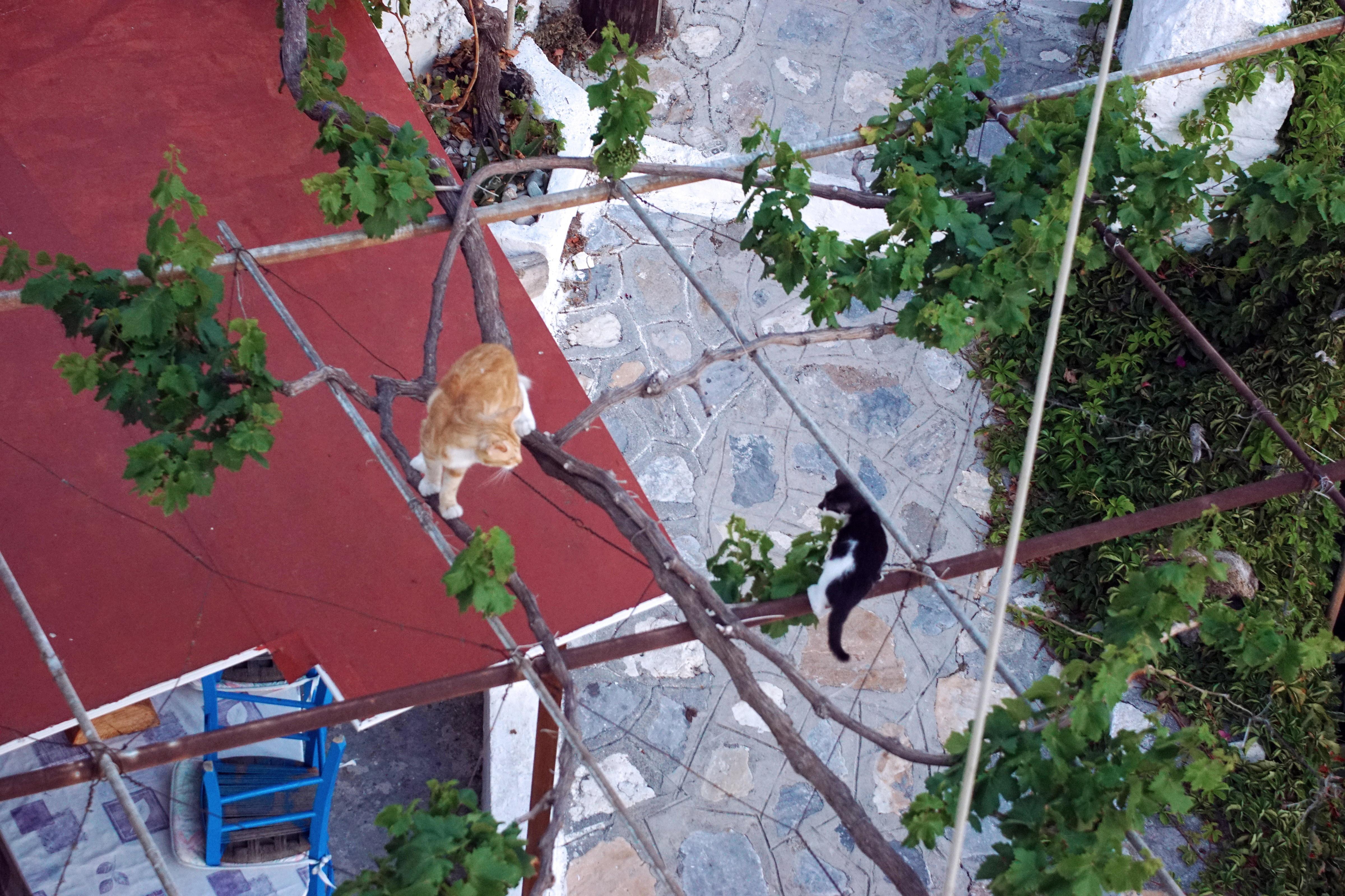 Samos-Greek-Cats61