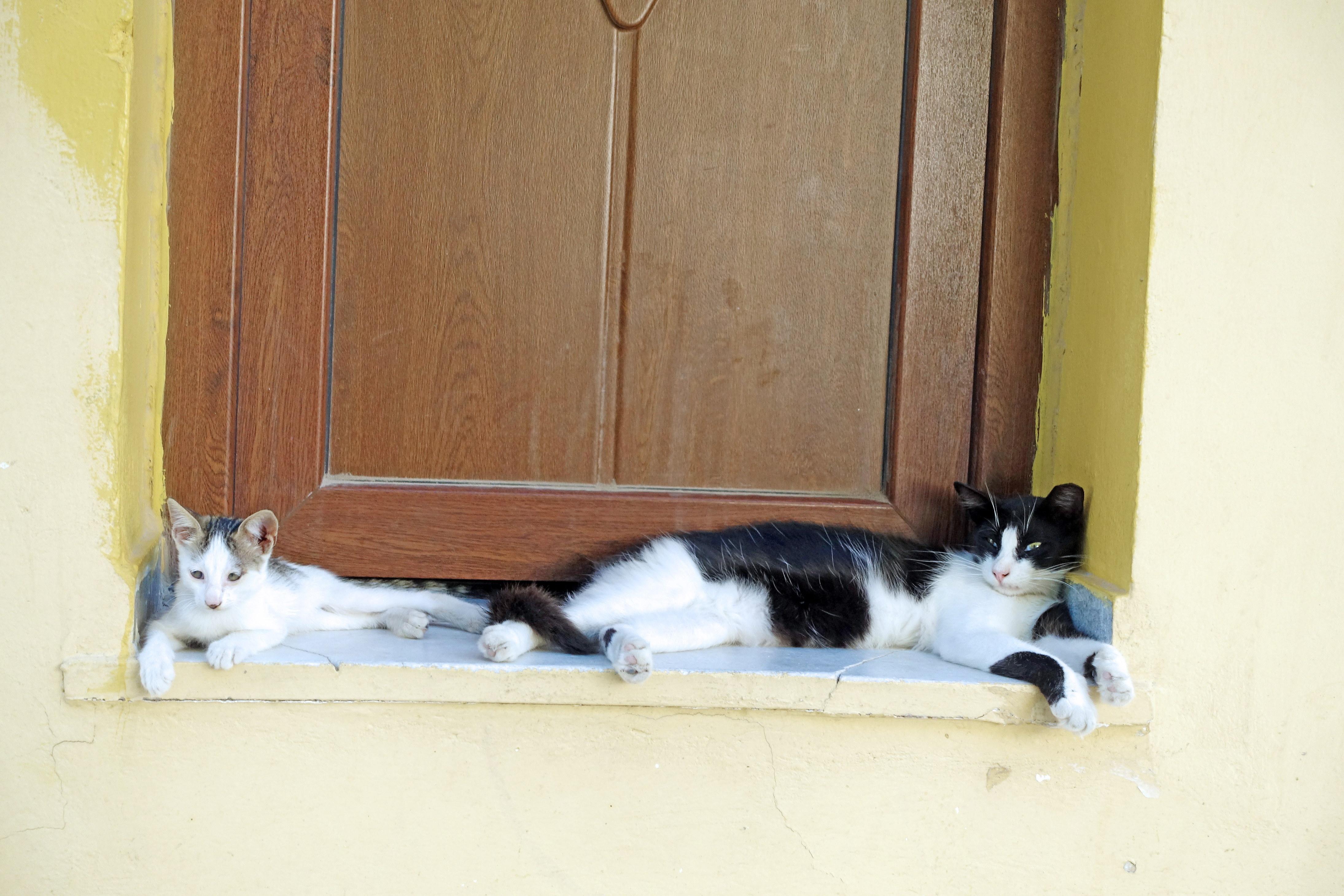 Samos-Greek-Cats66