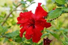 Hibiscus rosa-sinensis is native to East Asia.