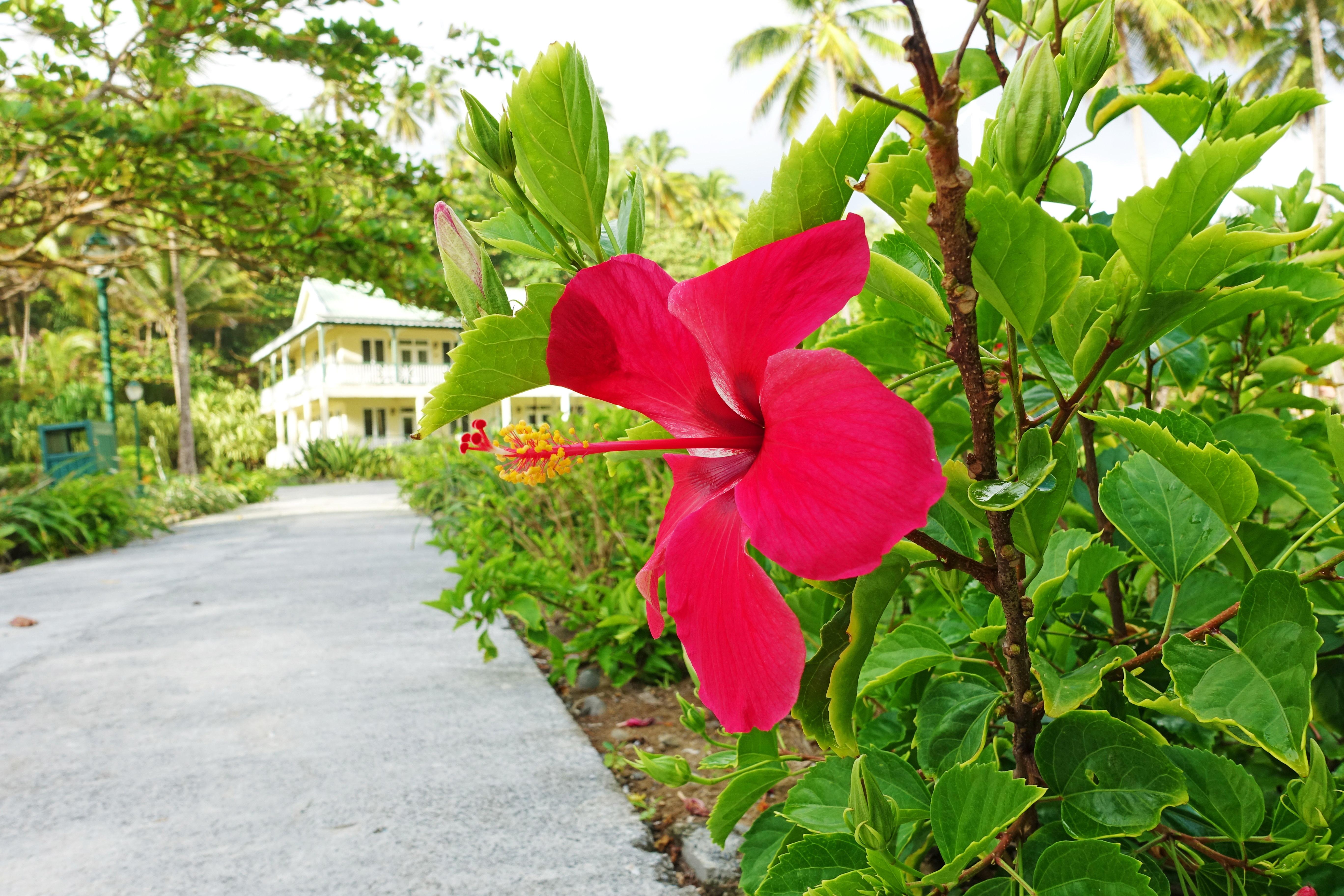 Dominica-Hibiscus01
