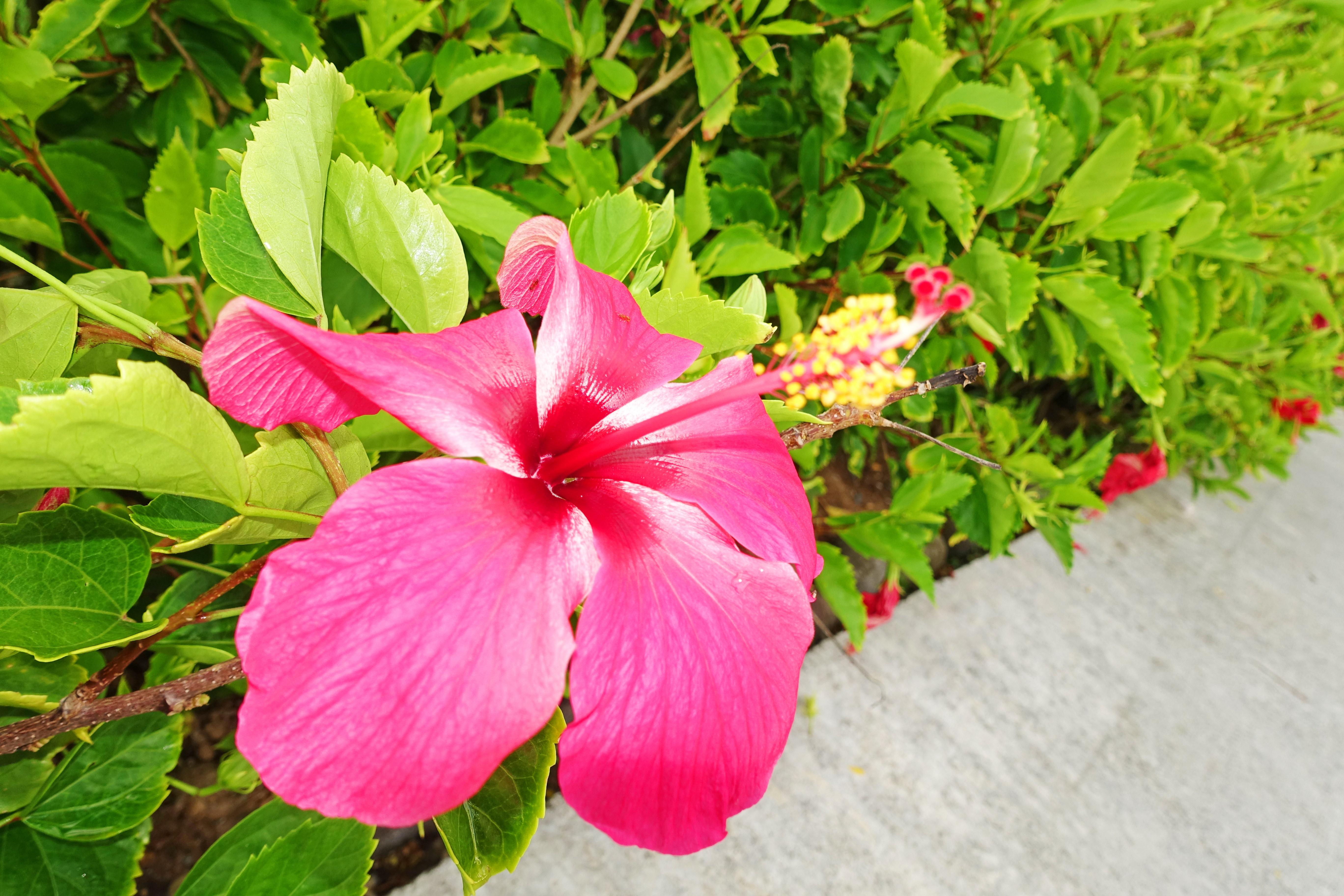 Dominica-Hibiscus02