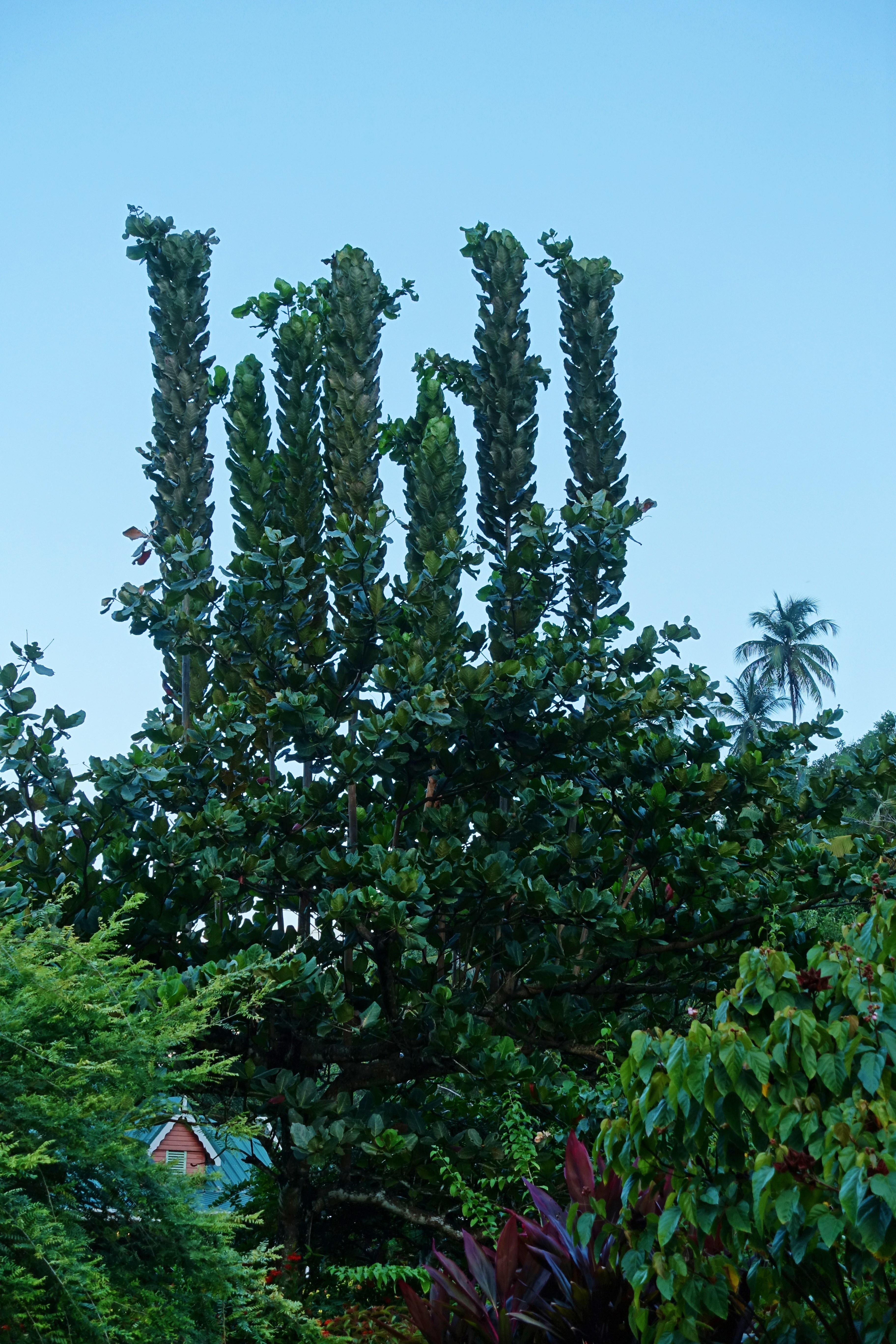 Dominica-Trees