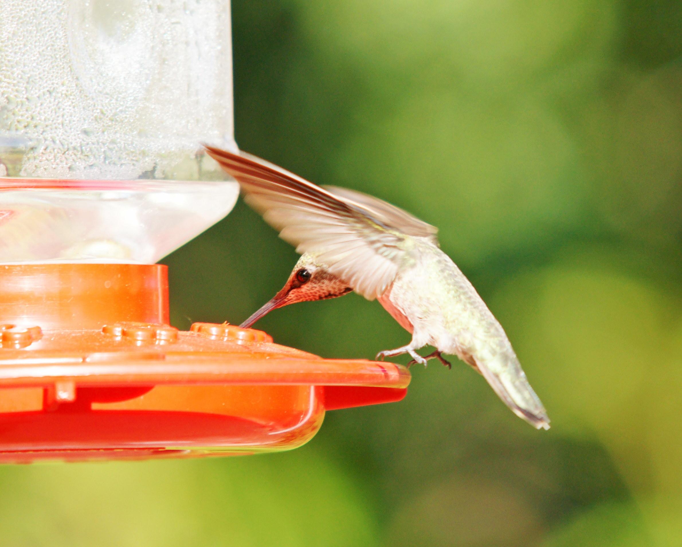 HummingbirdGallery04
