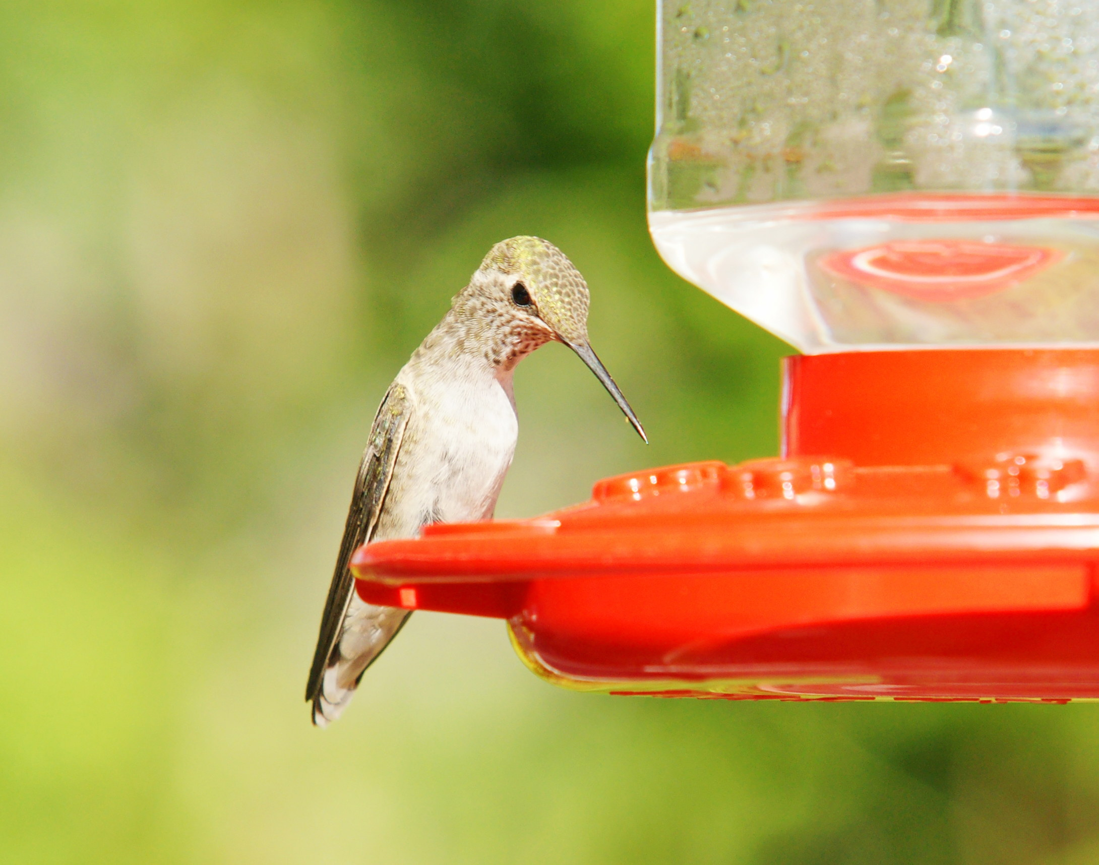 HummingbirdGallery05