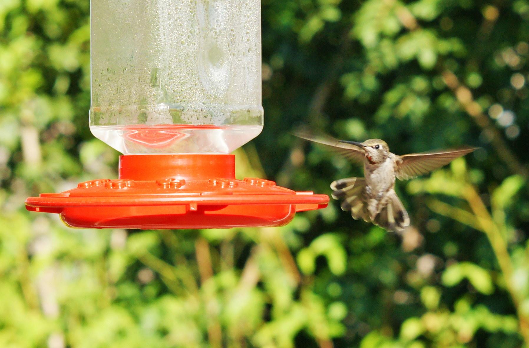 HummingbirdGallery08