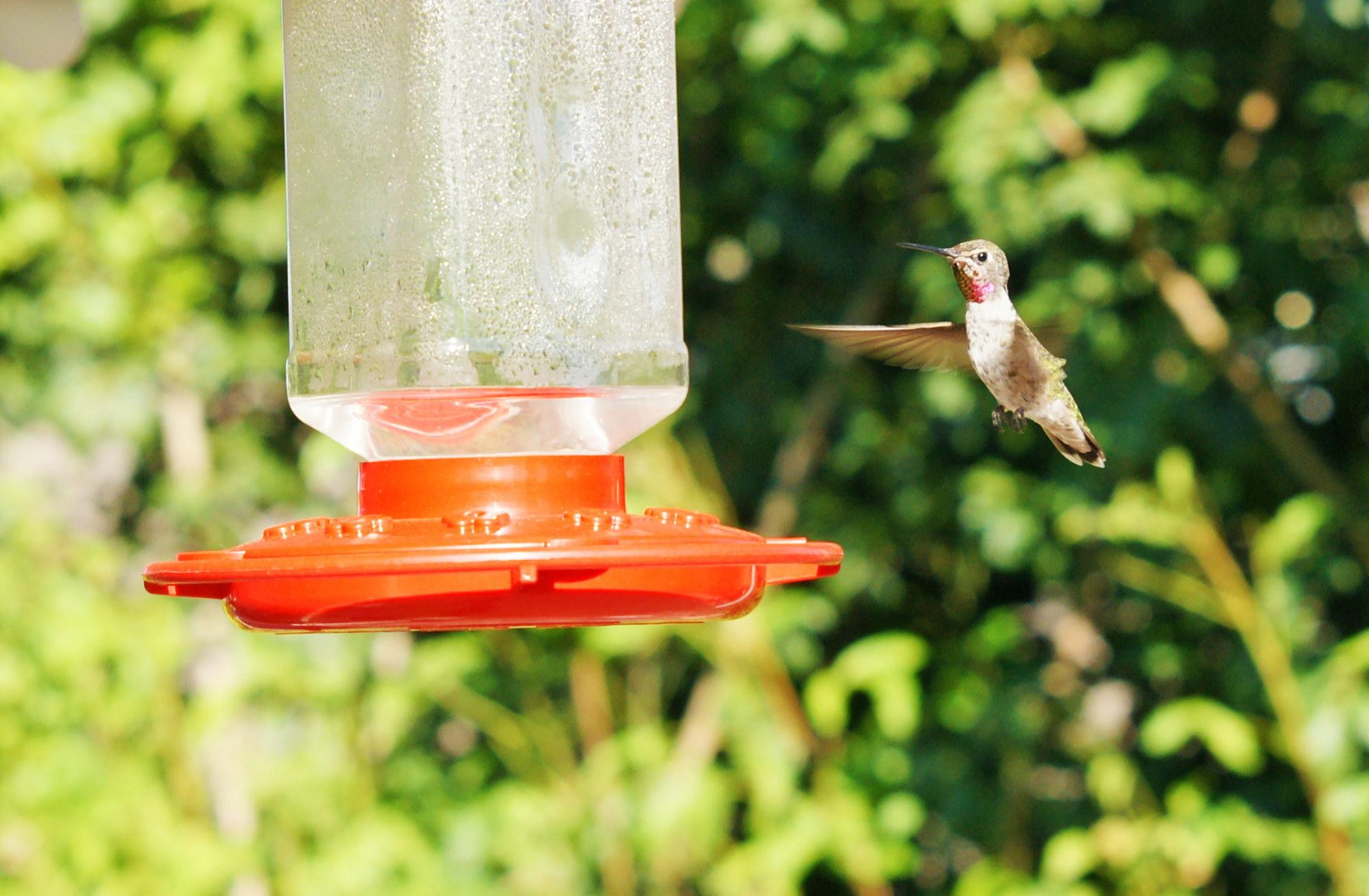 HummingbirdGallery09