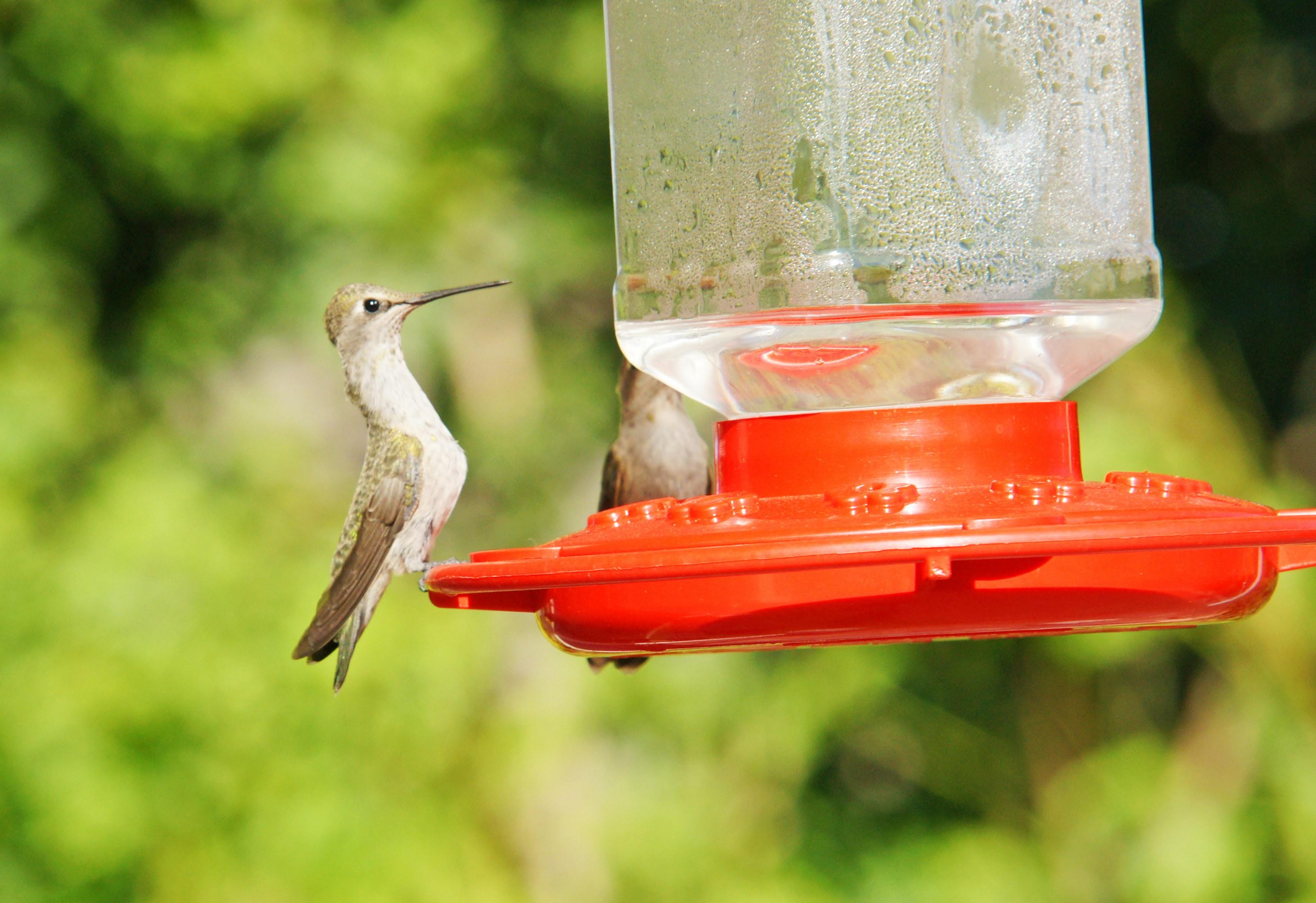HummingbirdsGallery04
