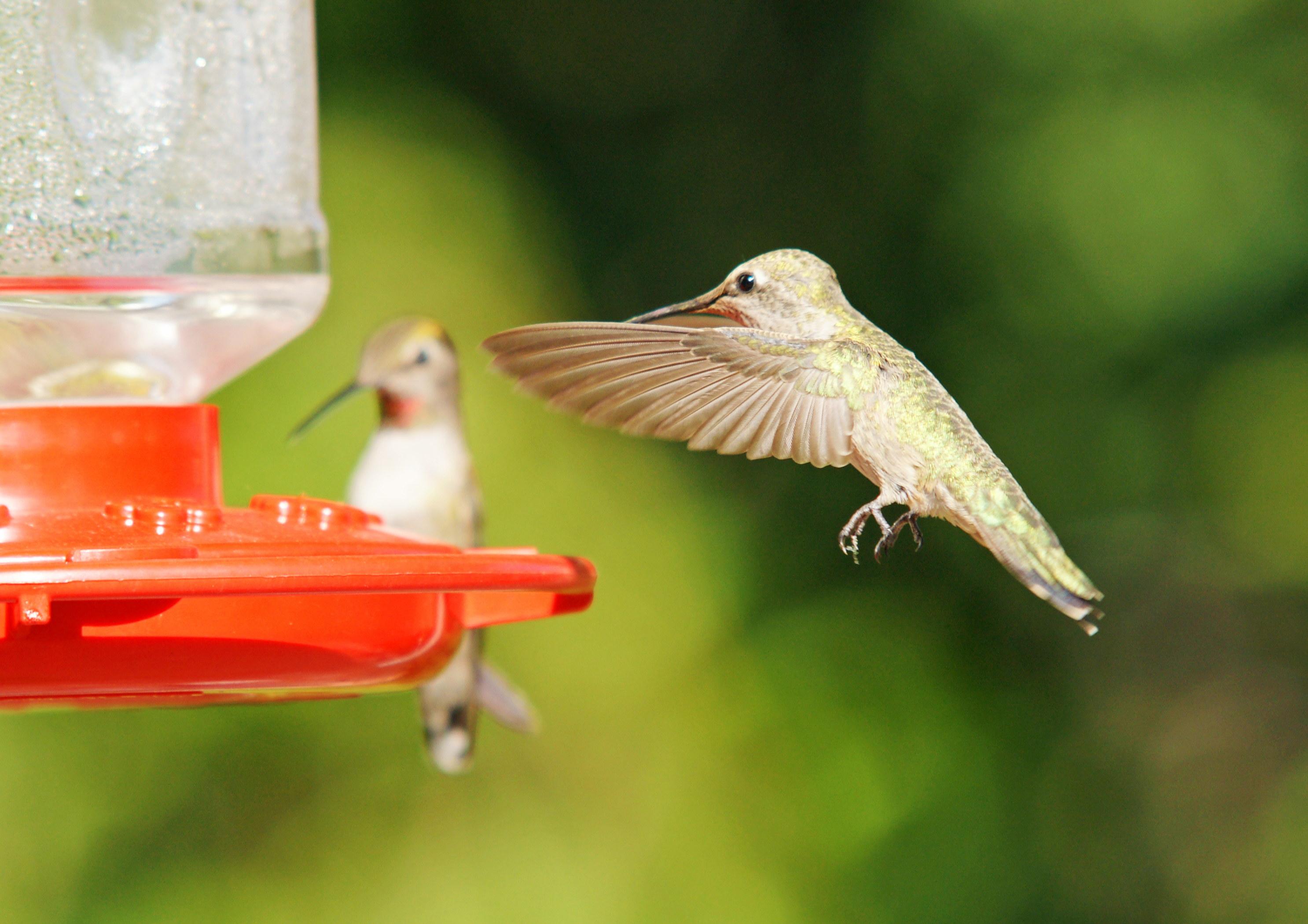 HummingbirdsGallery05