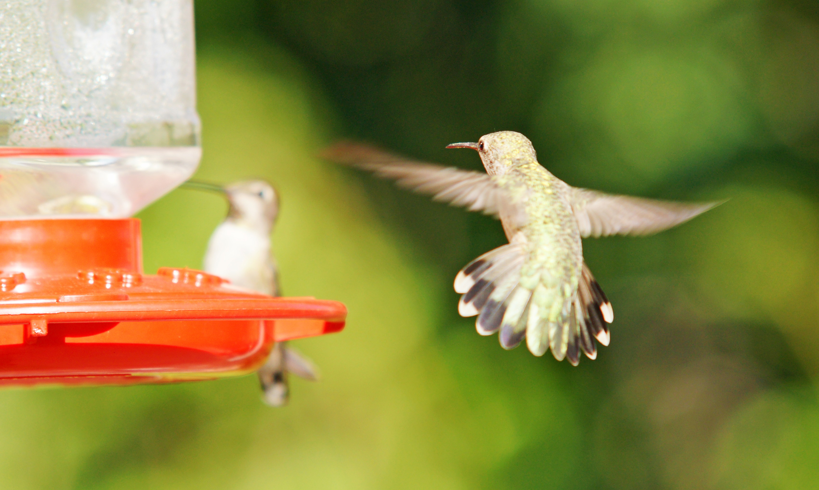 HummingbirdsGallery06