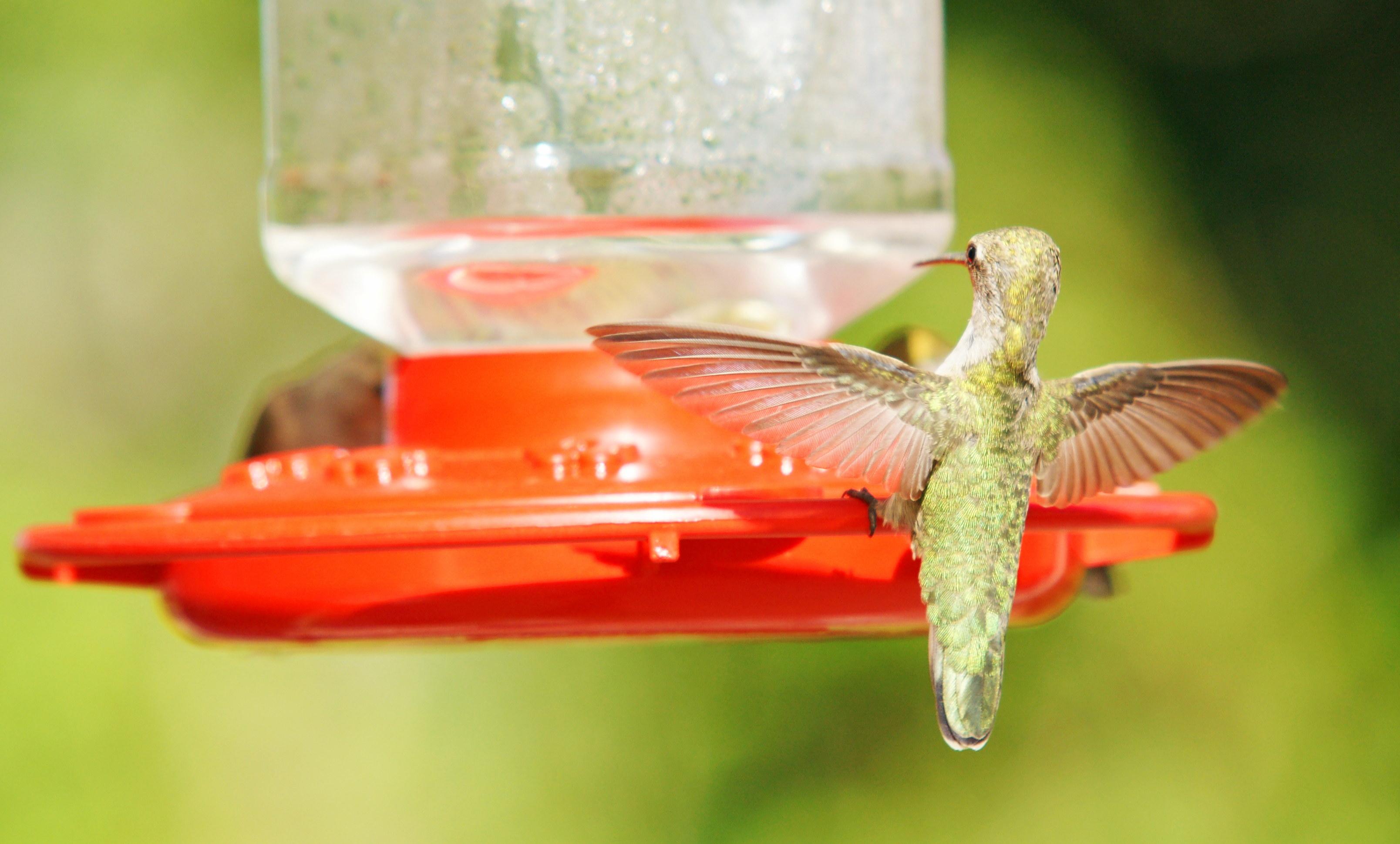 HummingbirdsGallery07
