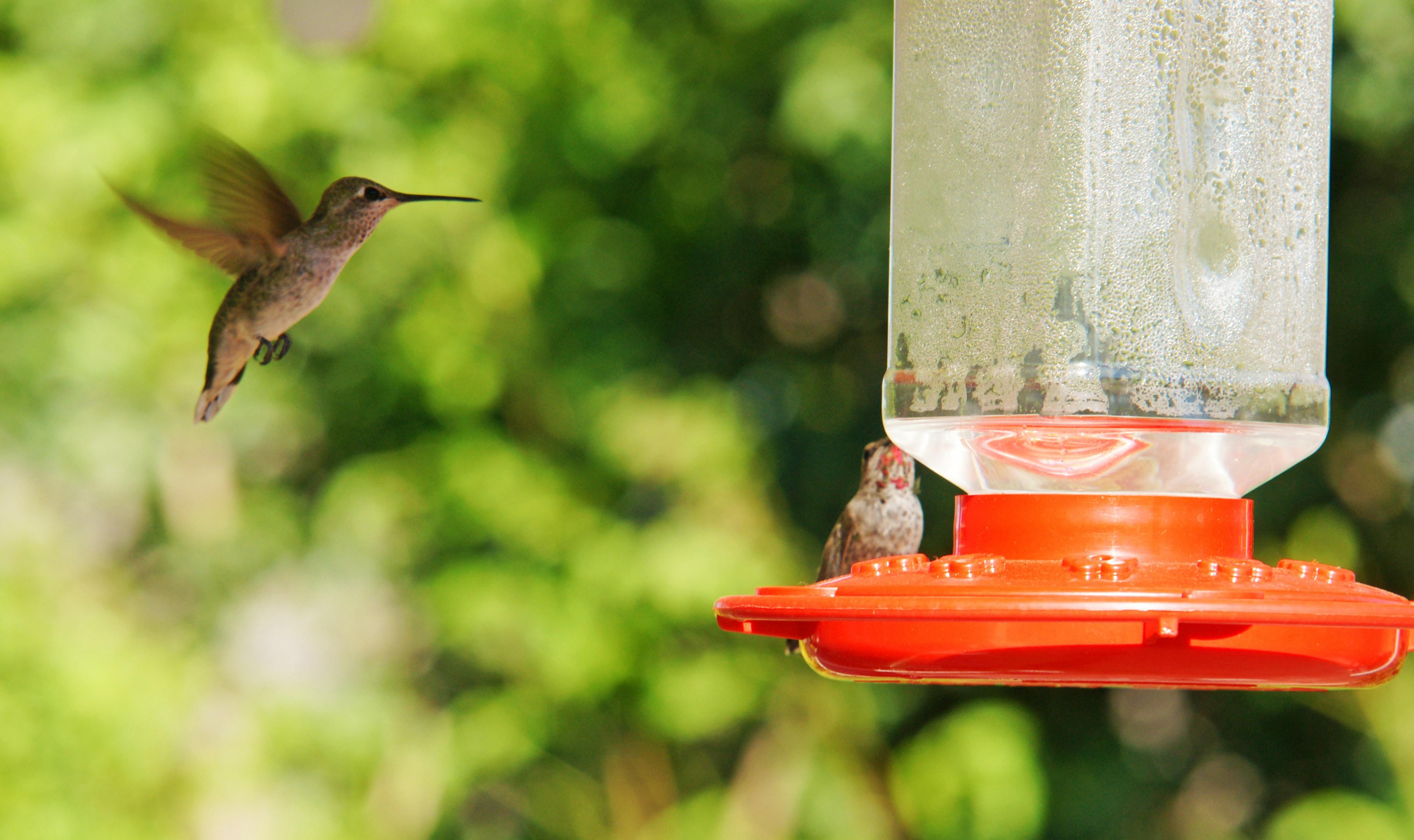 HummingbirdsGallery09