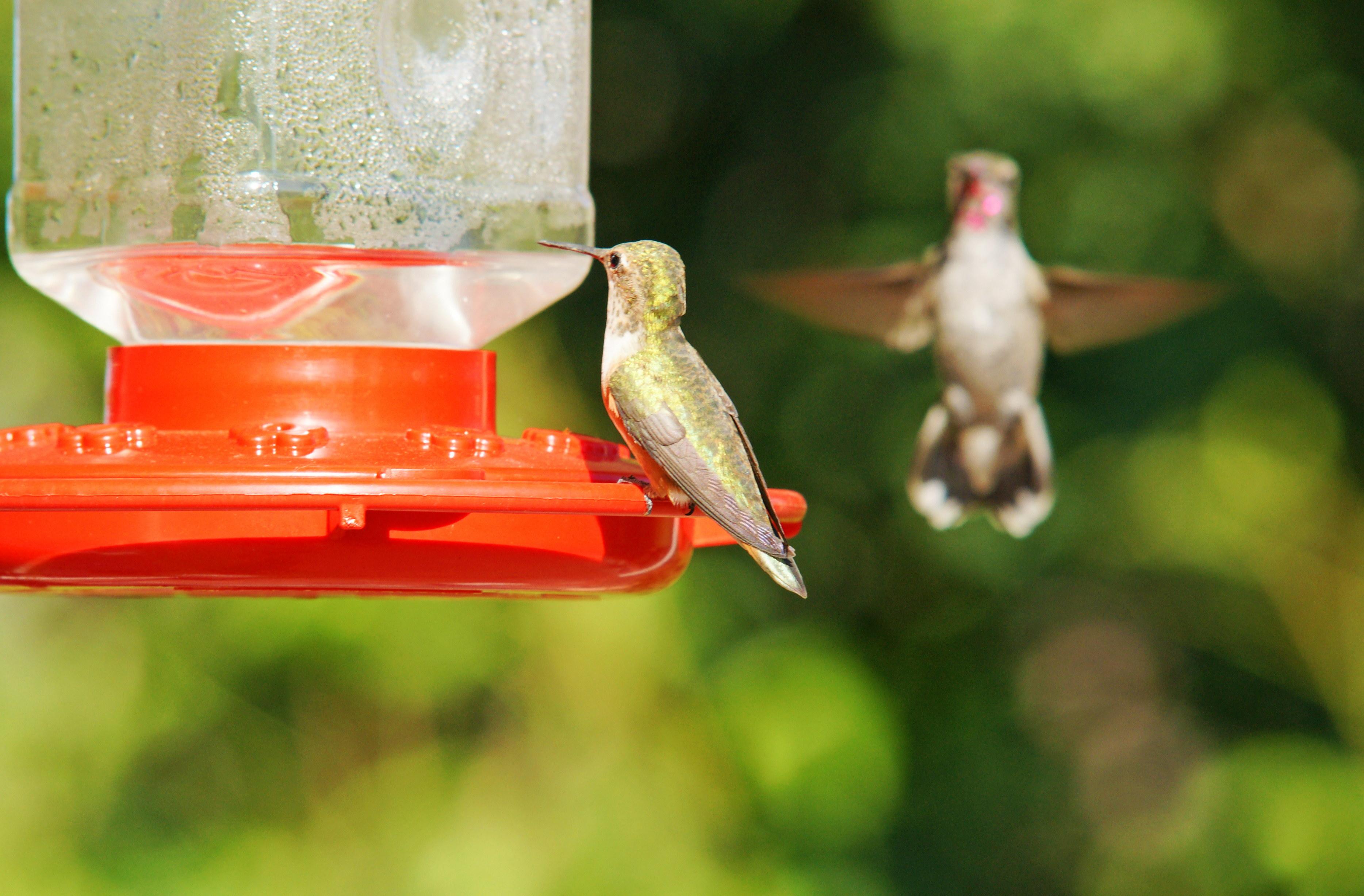 HummingbirdsGallery10