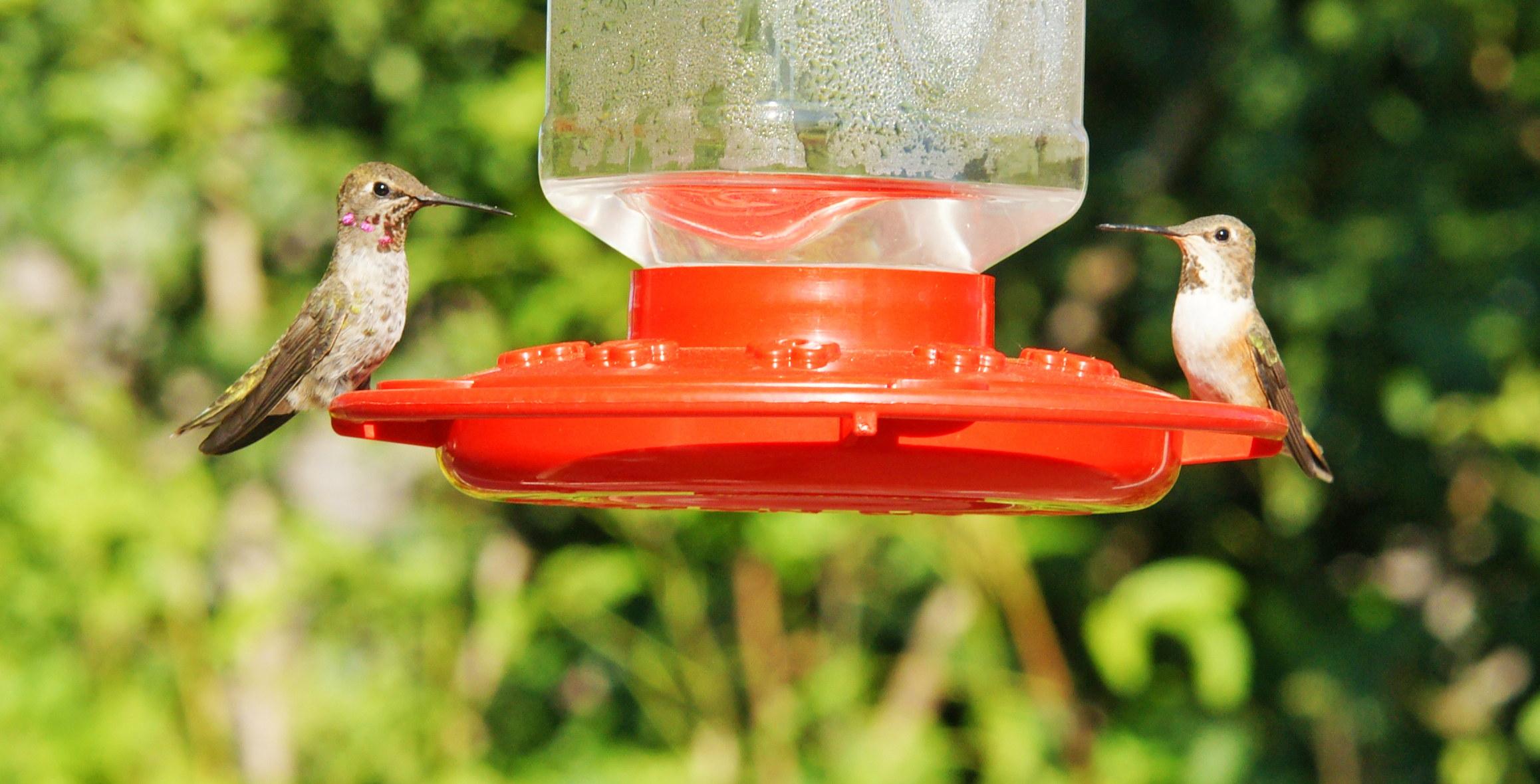 HummingbirdsGallery11