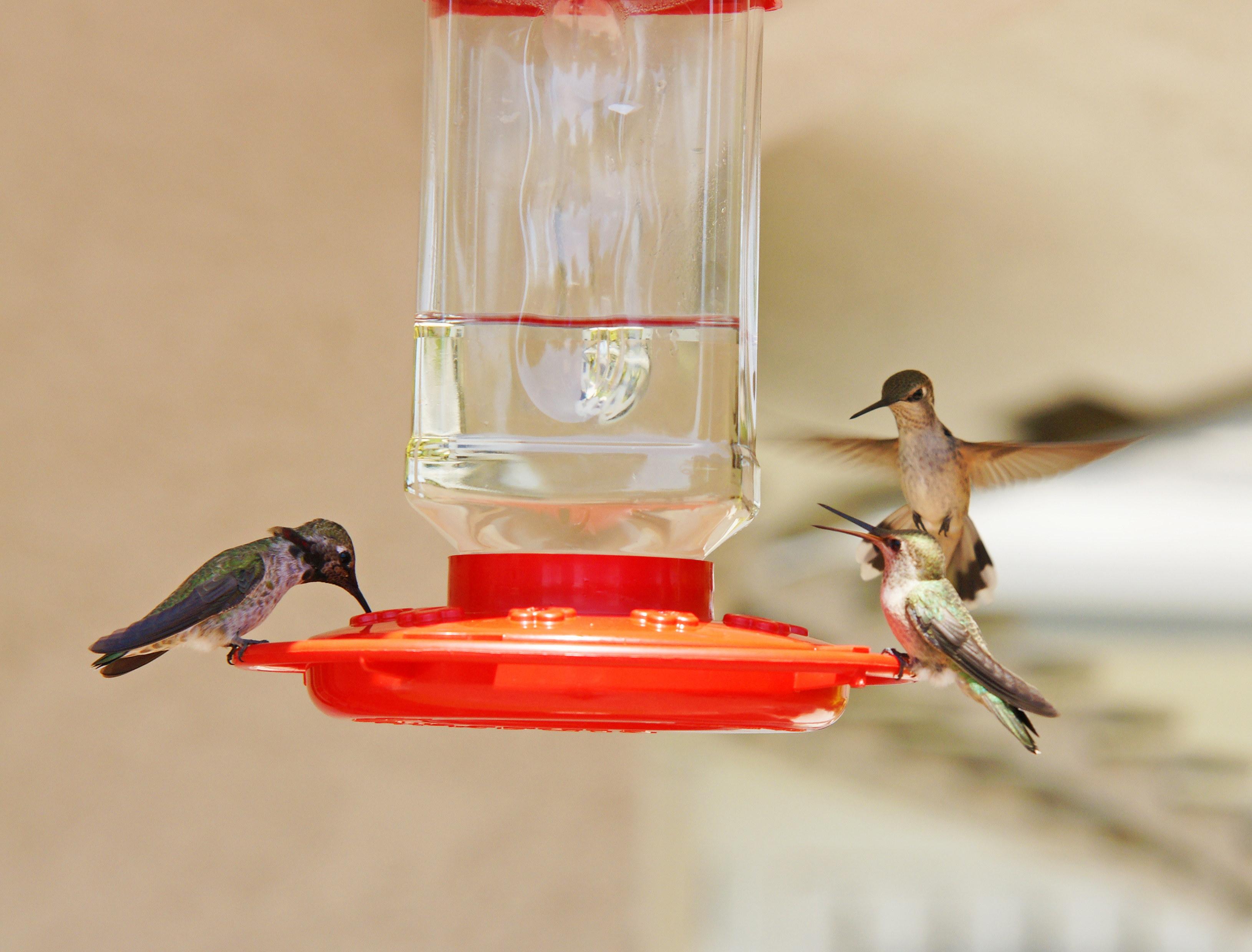 HummingbirdsGallery12