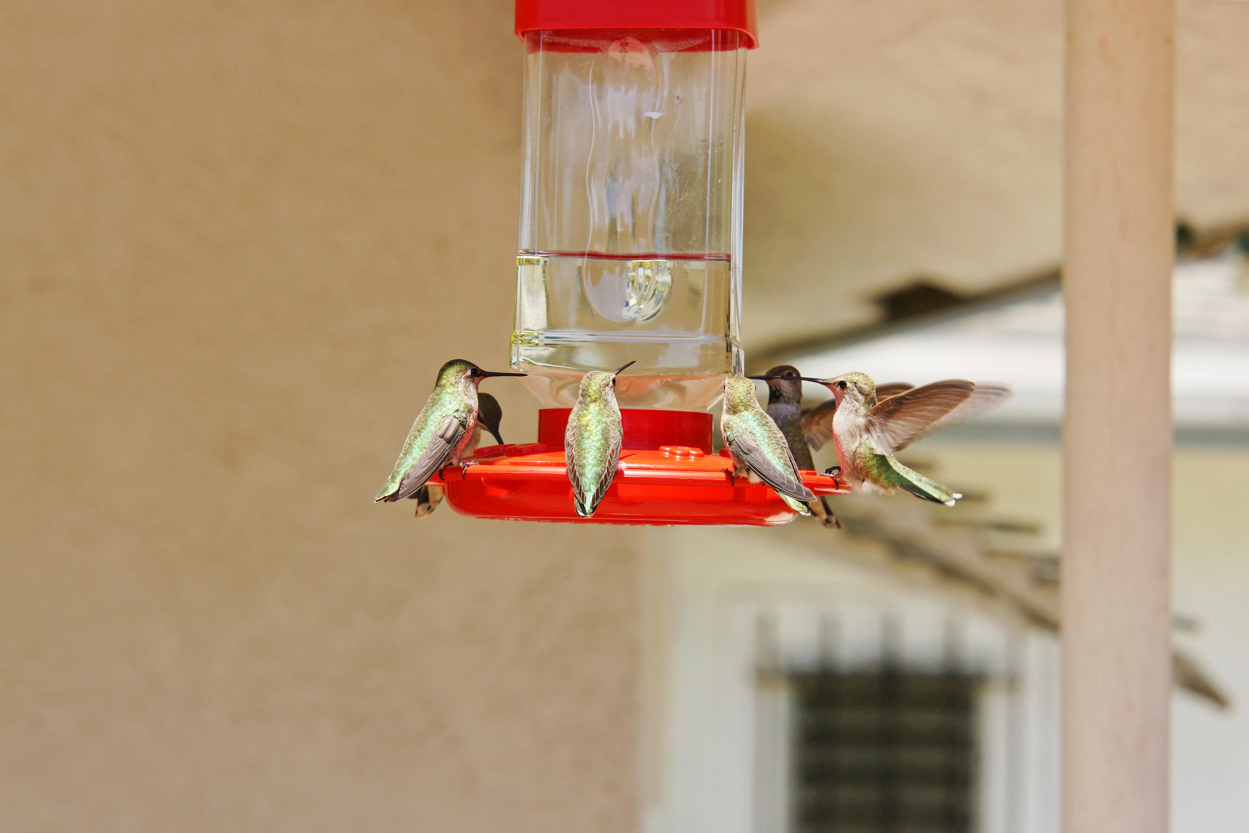 HummingbirdsGallery15
