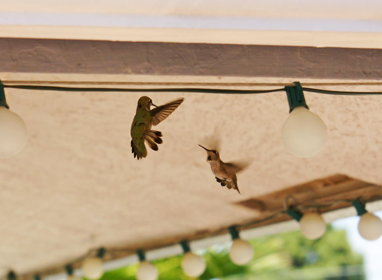 HummingbirdsGallery17