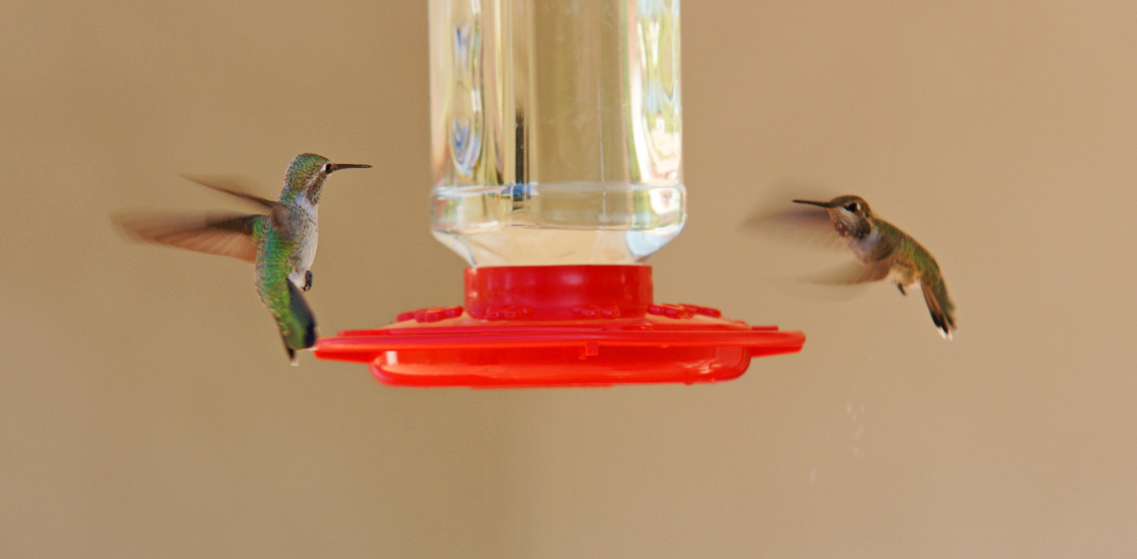 HummingbirdsGallery18