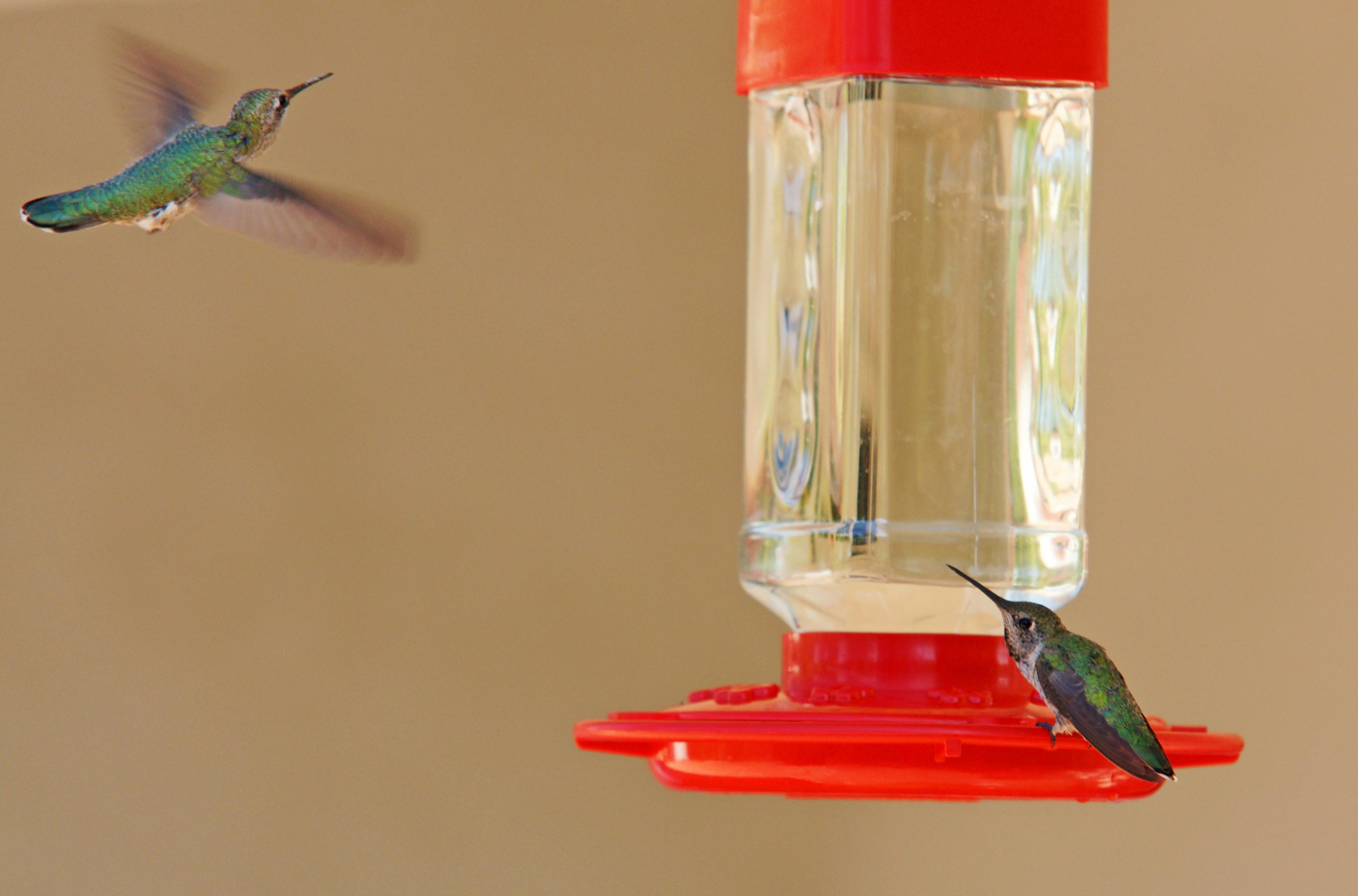HummingbirdsGallery20