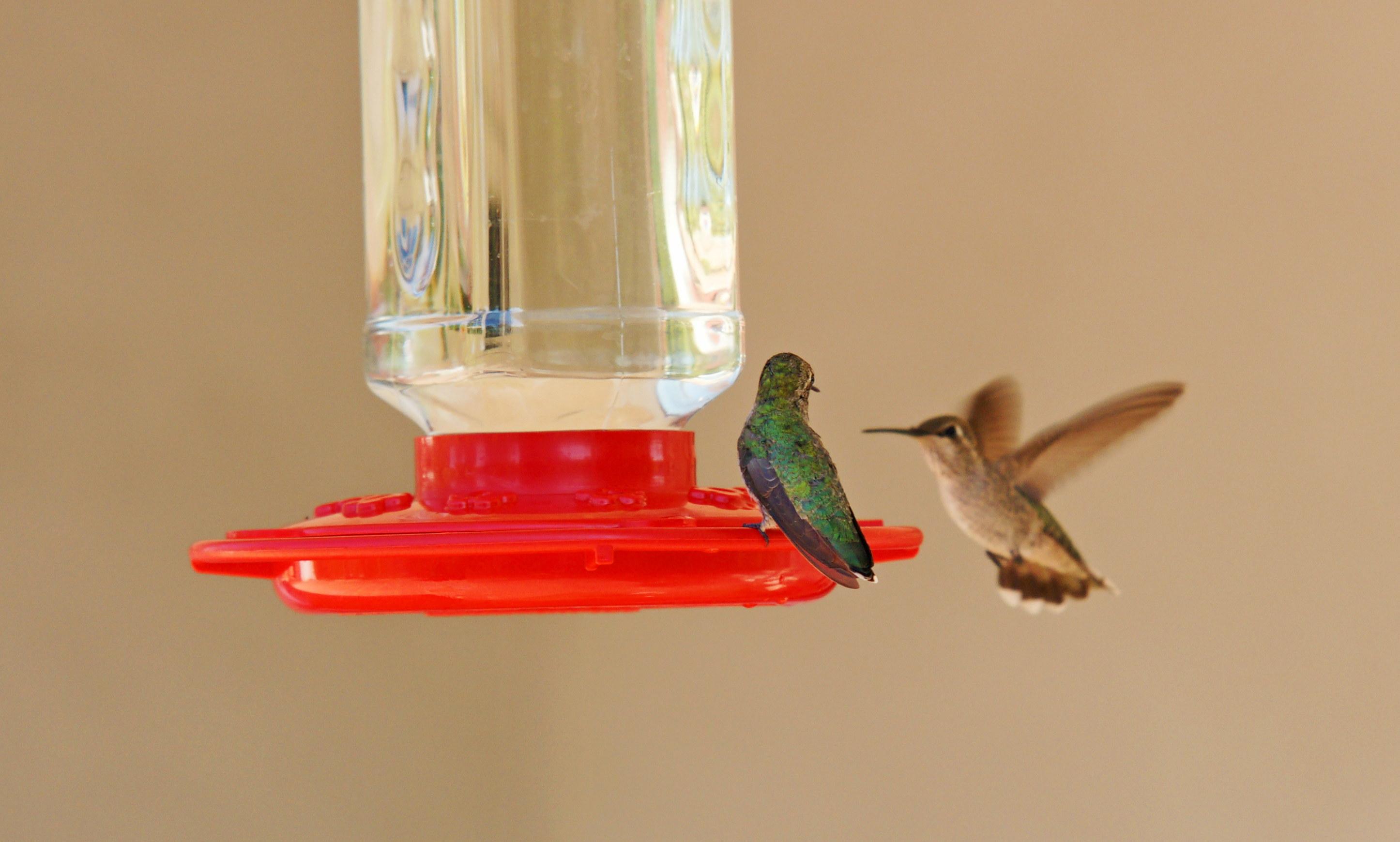 HummingbirdsGallery22