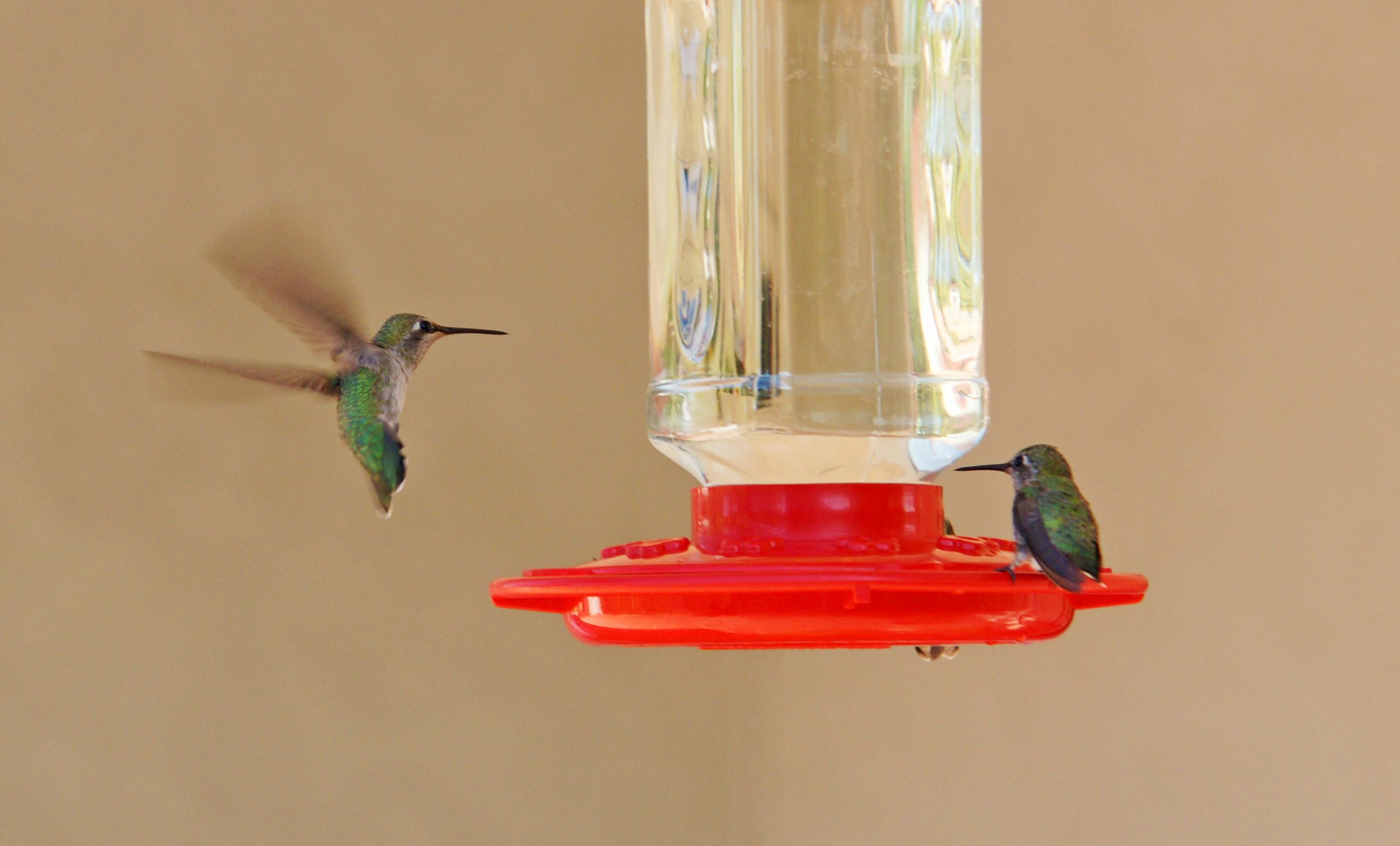 HummingbirdsGallery23