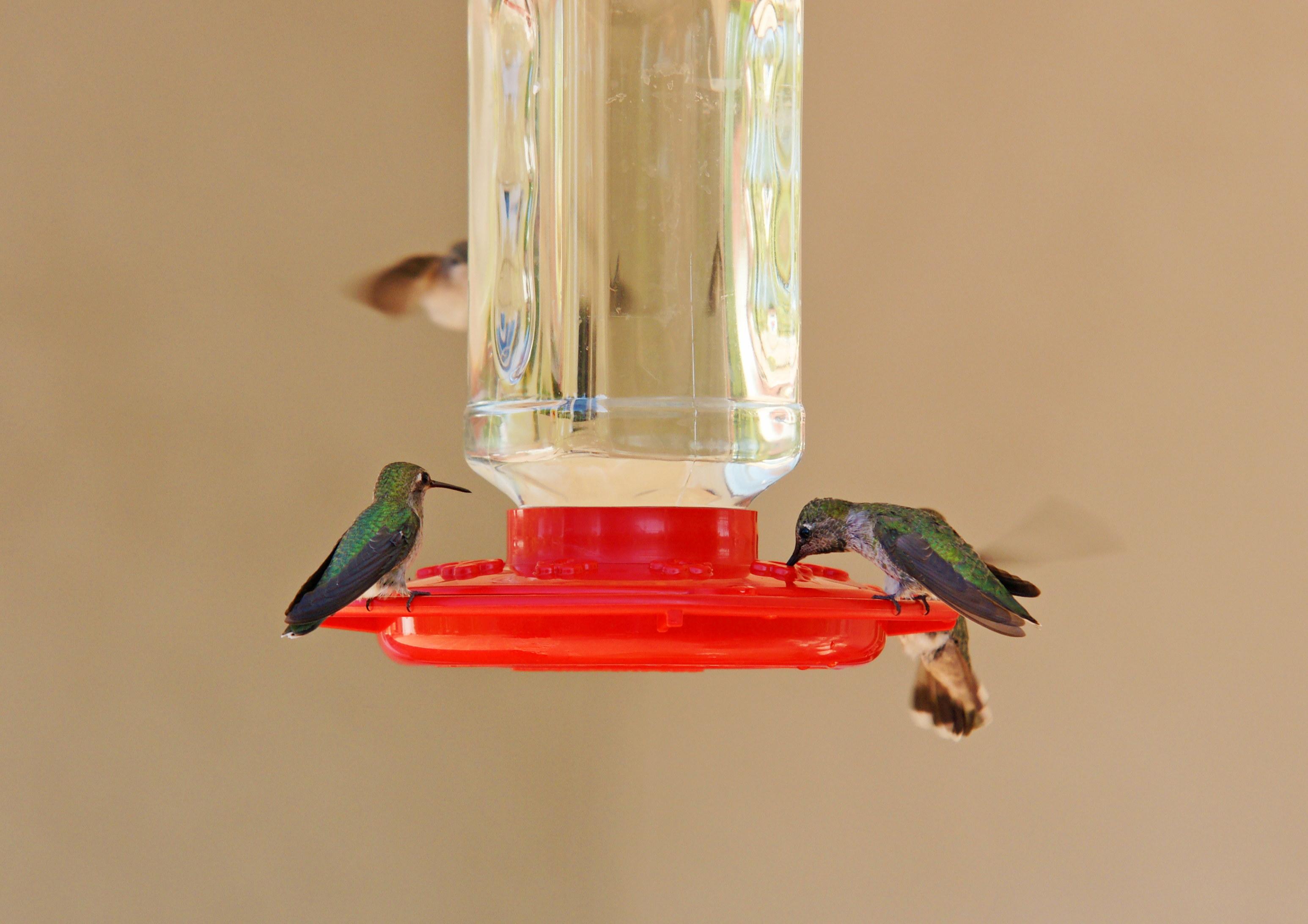 HummingbirdsGallery25