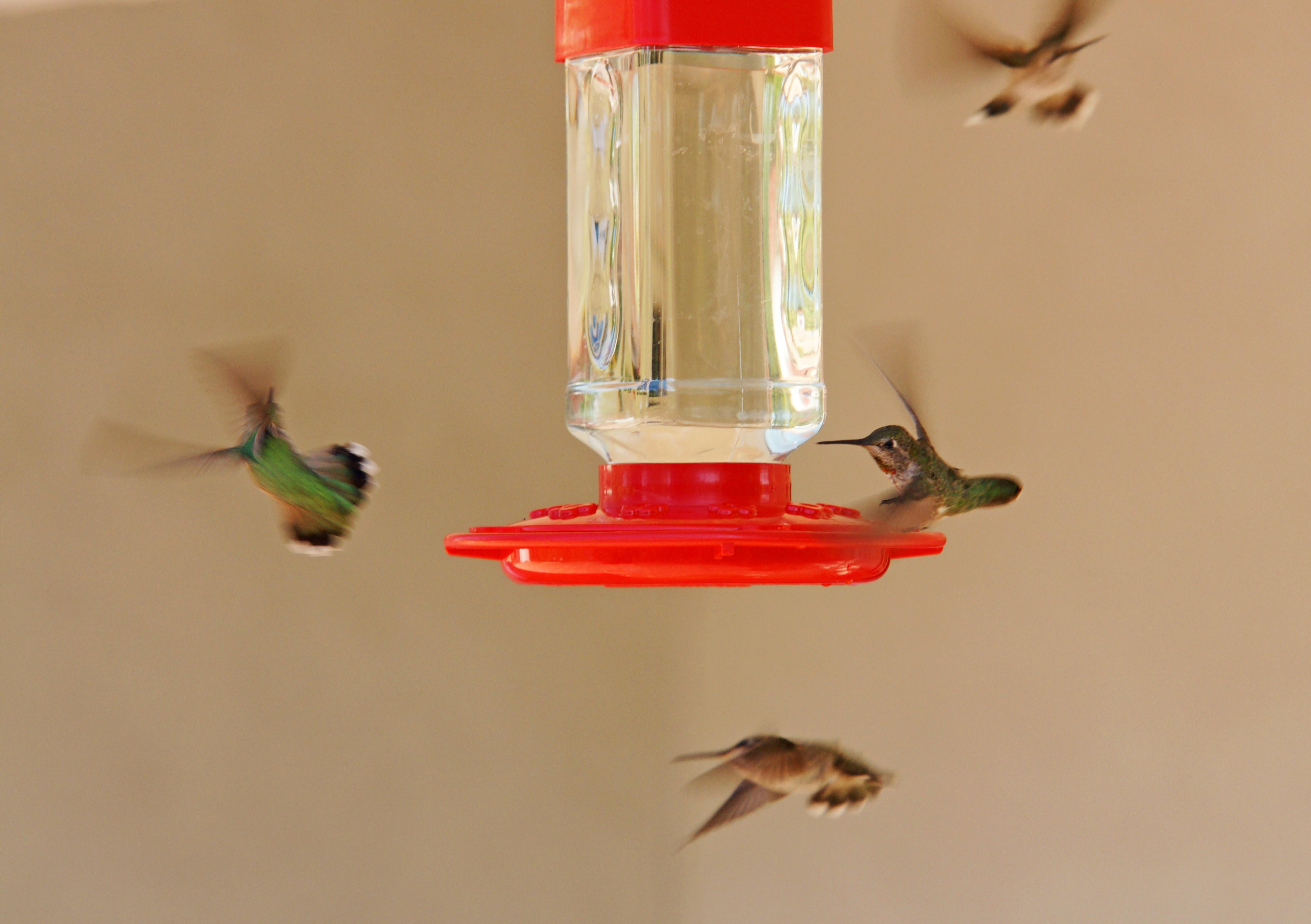 HummingbirdsGallery26