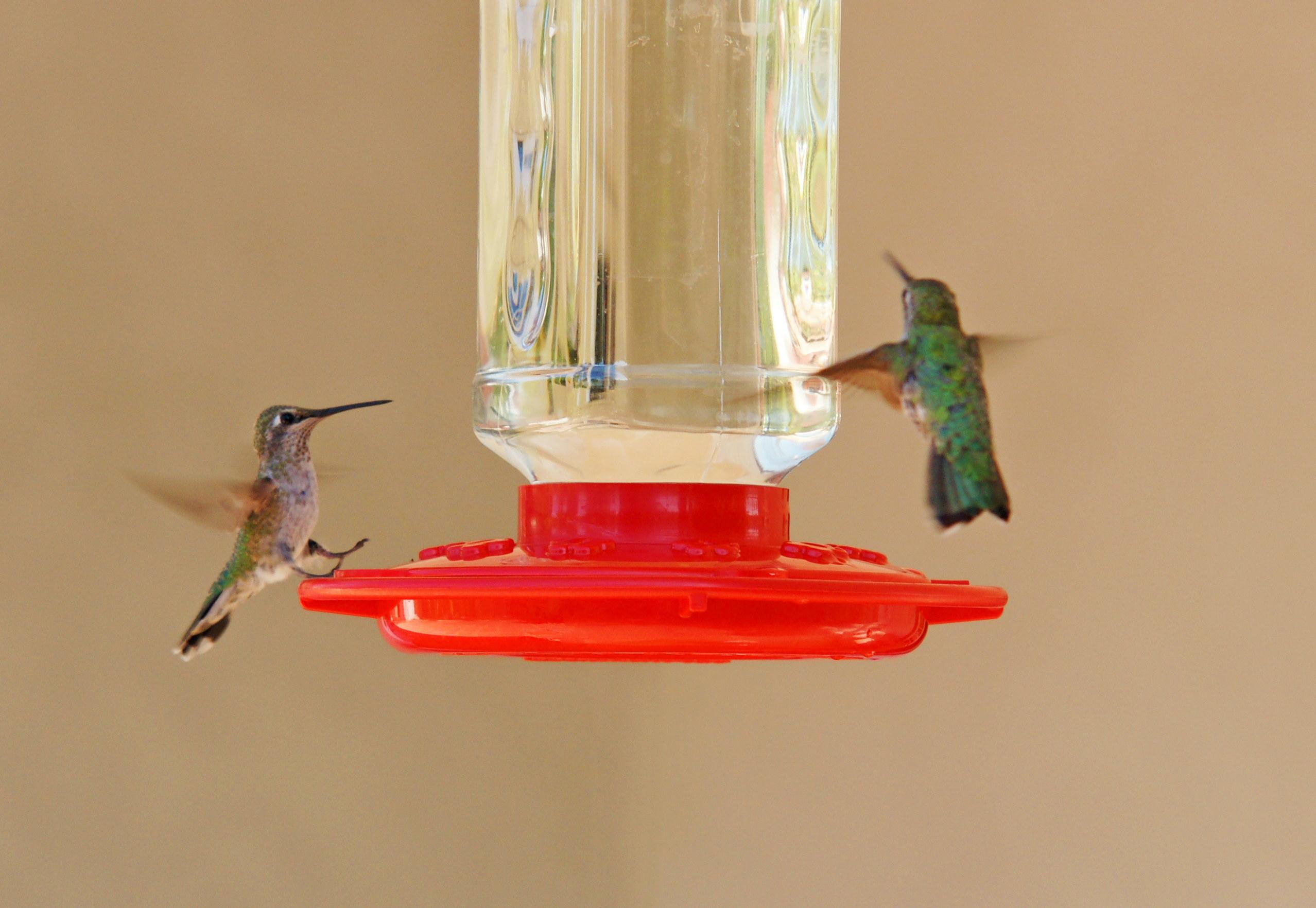 HummingbirdsGallery27