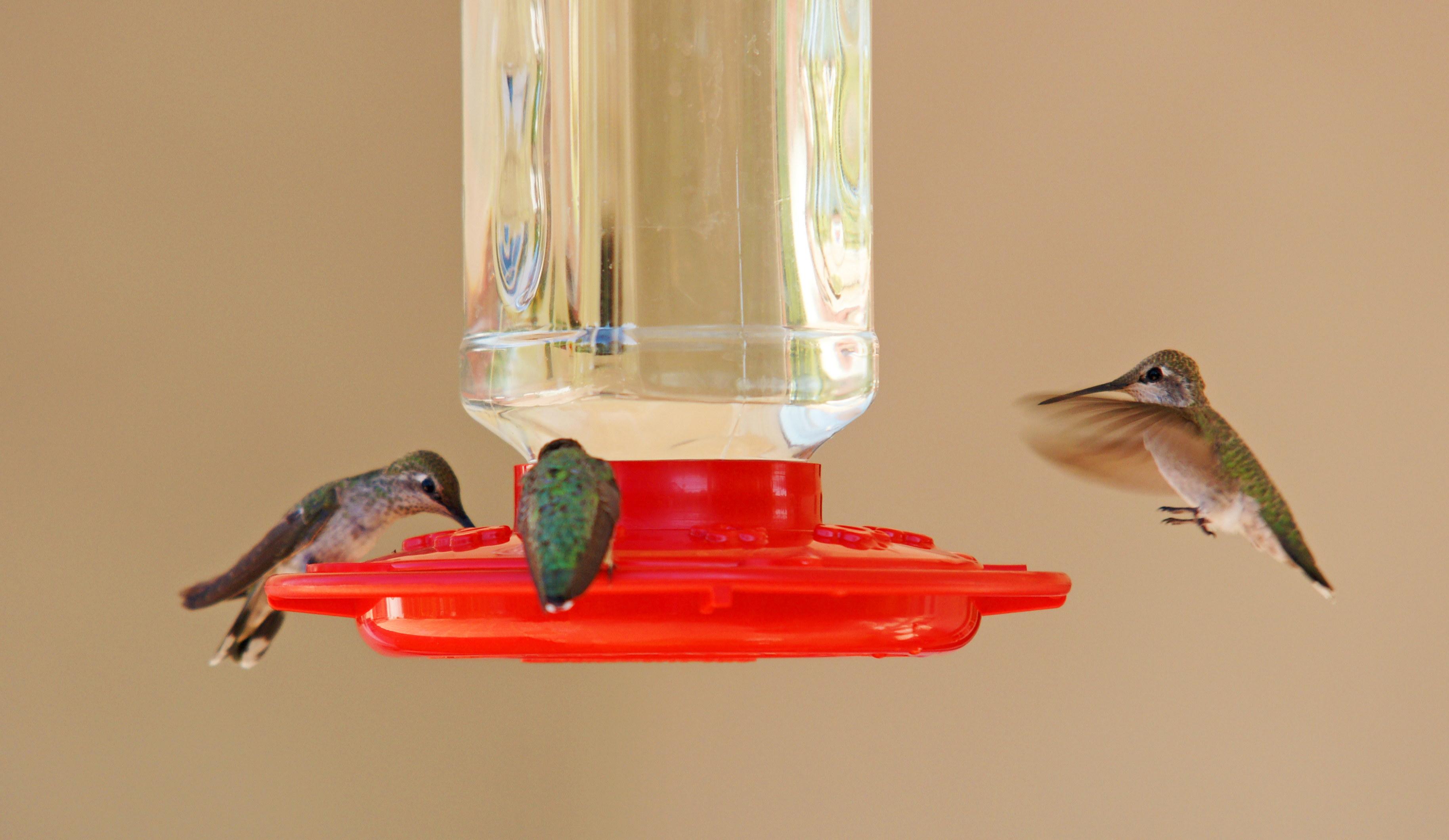 HummingbirdsGallery28