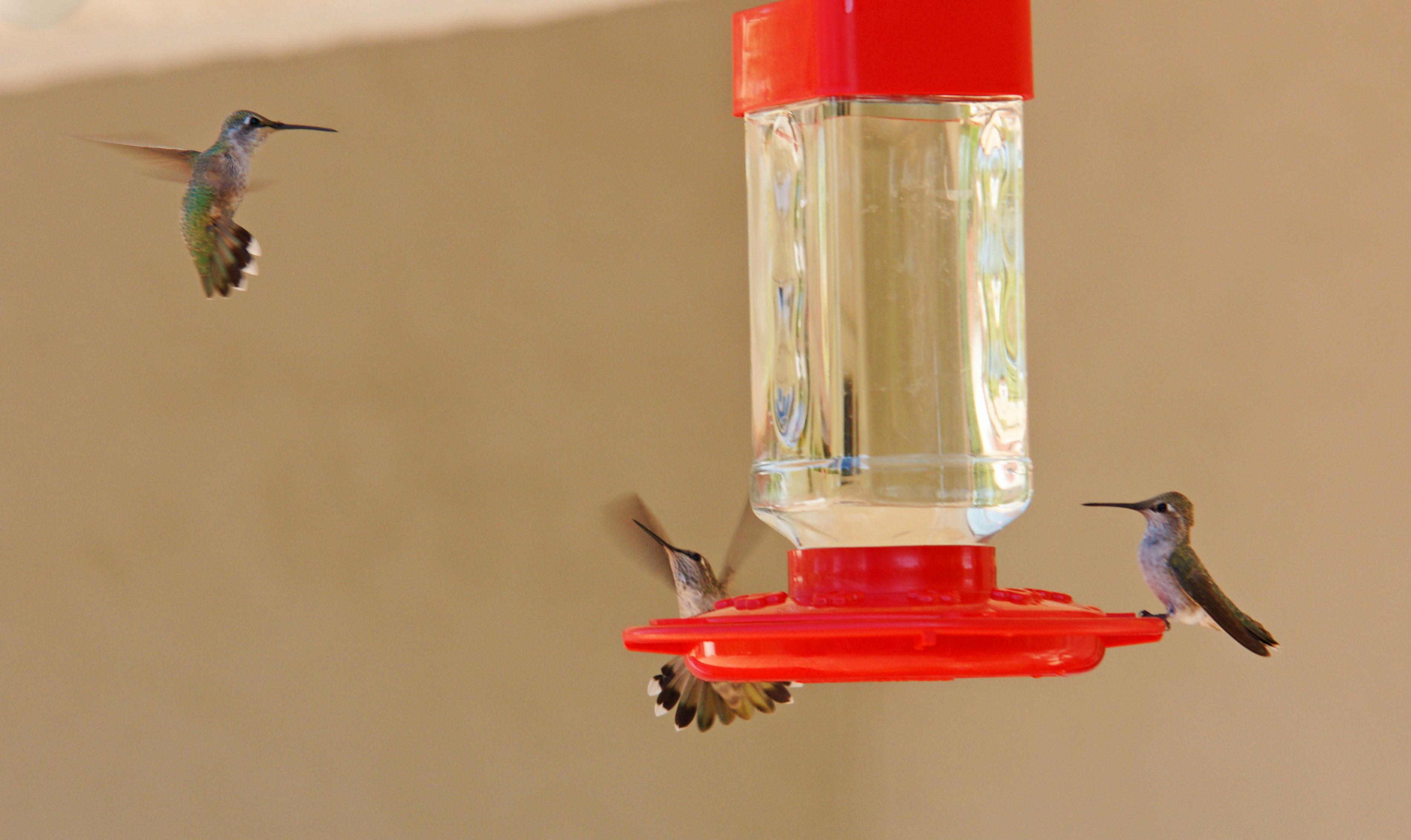 HummingbirdsGallery29