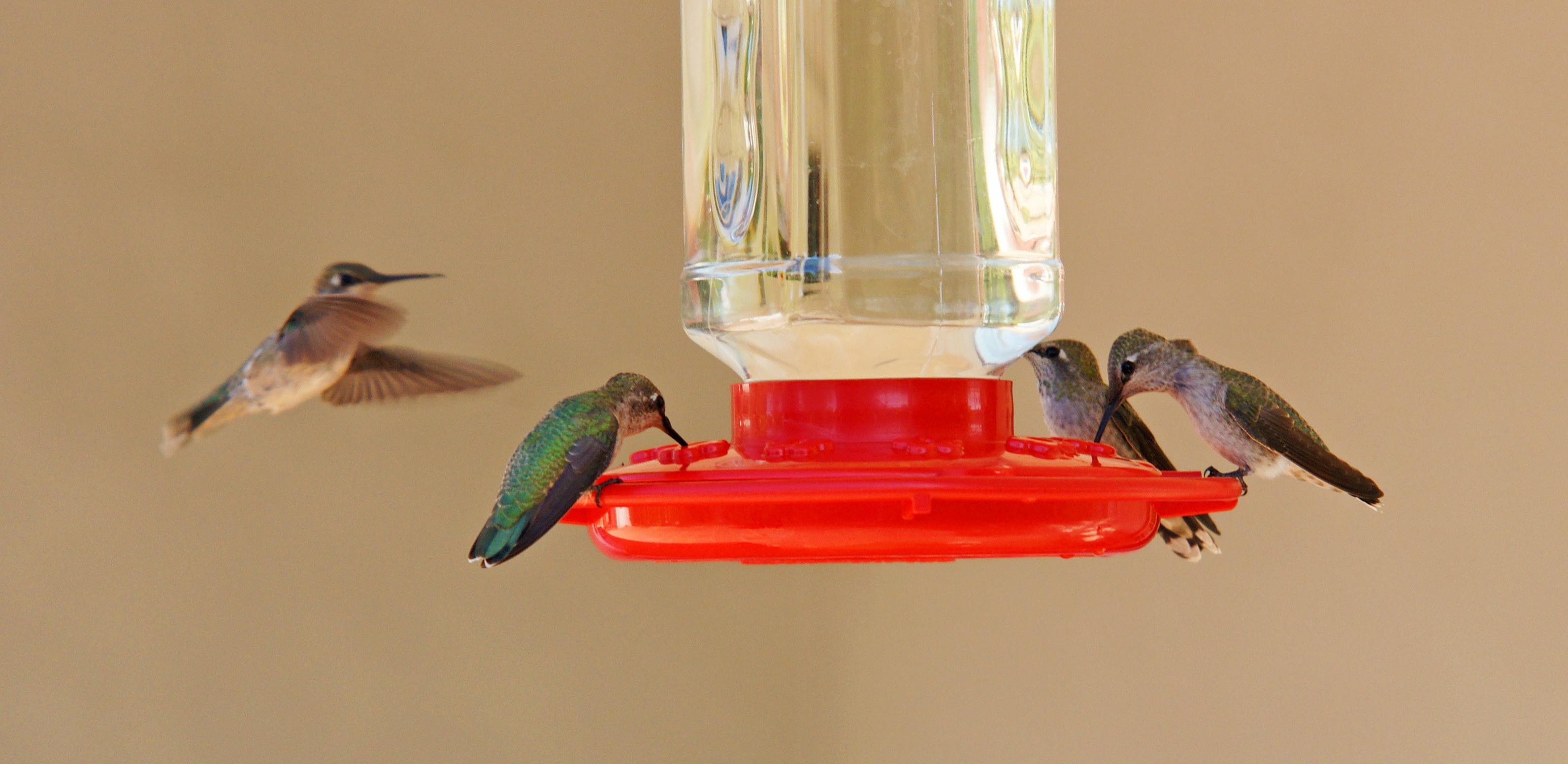 HummingbirdsGallery30