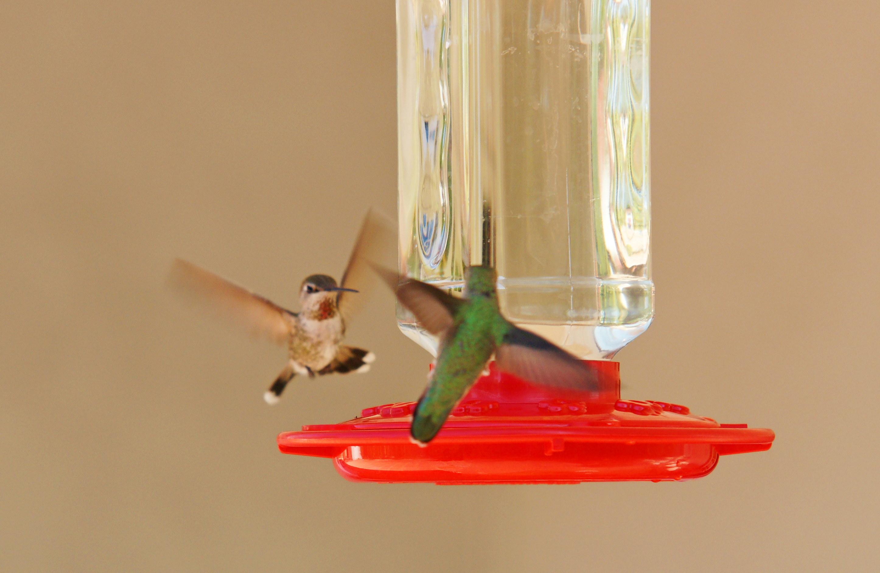 HummingbirdsGallery31