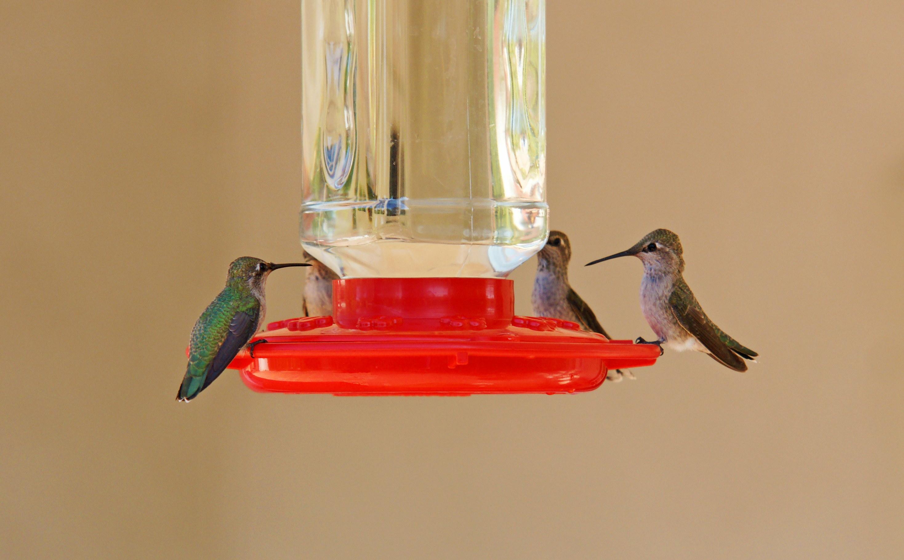HummingbirdsGallery32