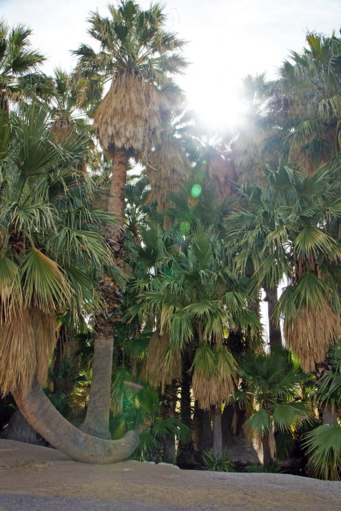 One of the unusual palm trees of Agua Caliente Park.