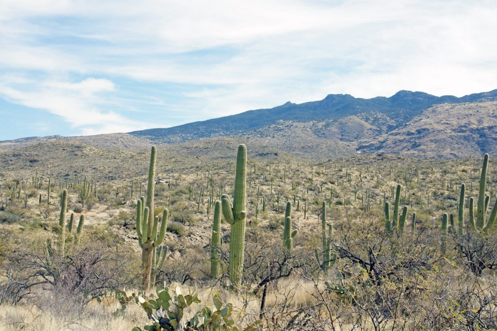 Saguaro cactus in Saguaro National Park.