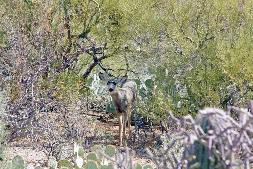 Mule deer hiding in a thicket.