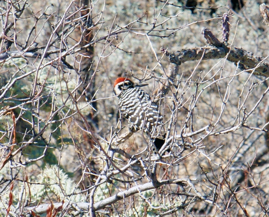 Nuttall's woodpecker blending into the foliage.