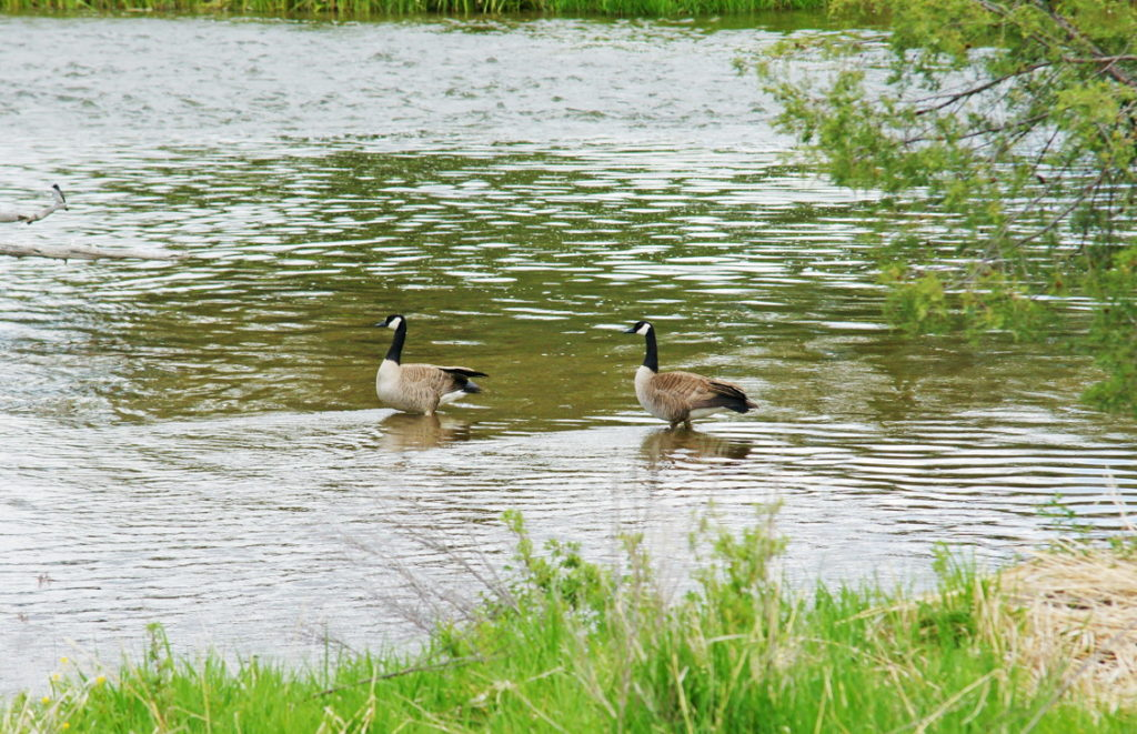 Canada geese wade through the cold water.